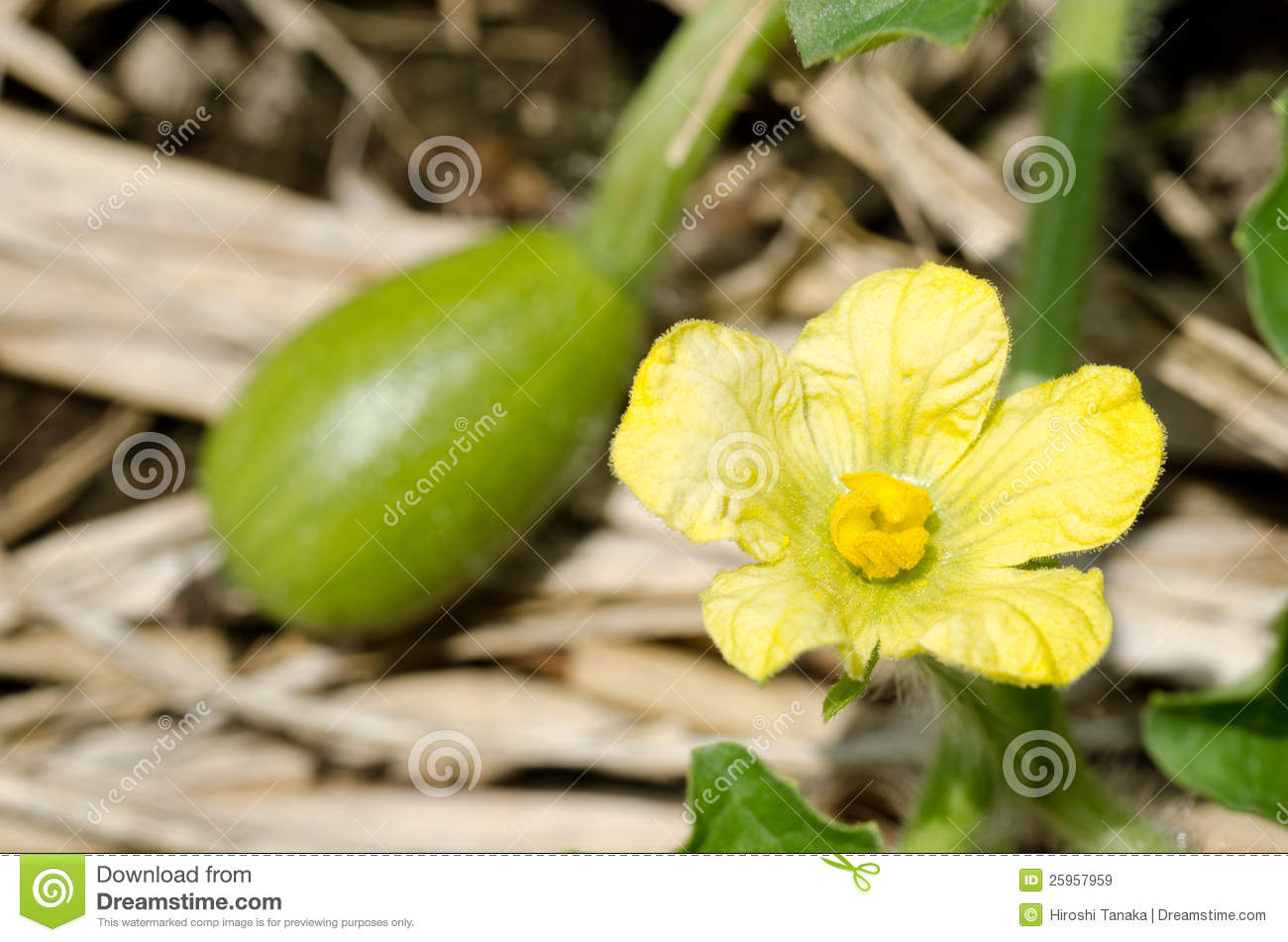Watermelon Flower Royalty Free Stock Images Image 25957959
