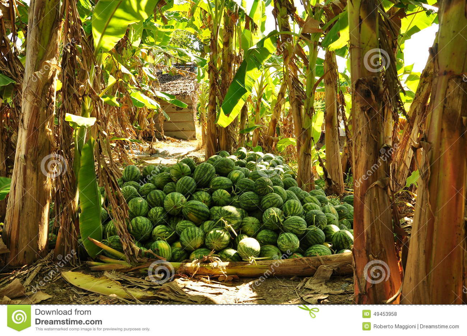 Watermelon Harvest Banana Tree Grove Vietnam Fruit Tropical Orchard Mekong Delta