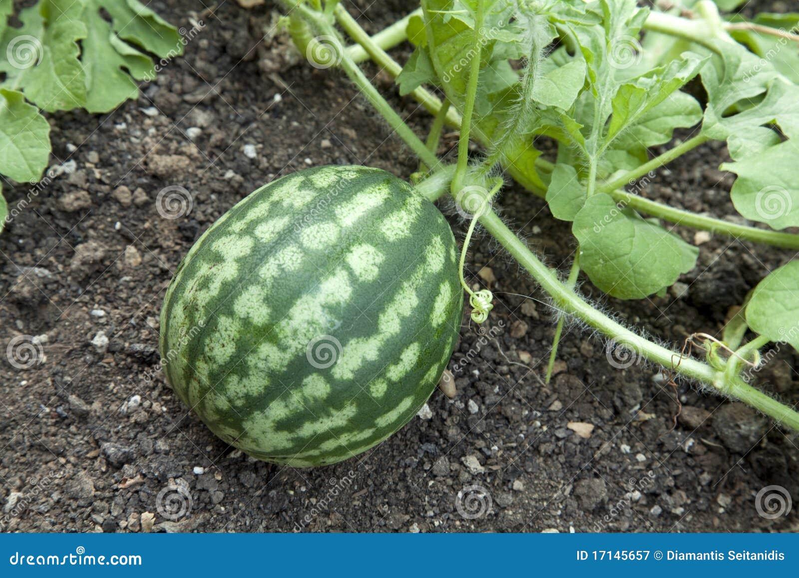 How Long Does Watermelon Last Shelf Life Storage Expiry