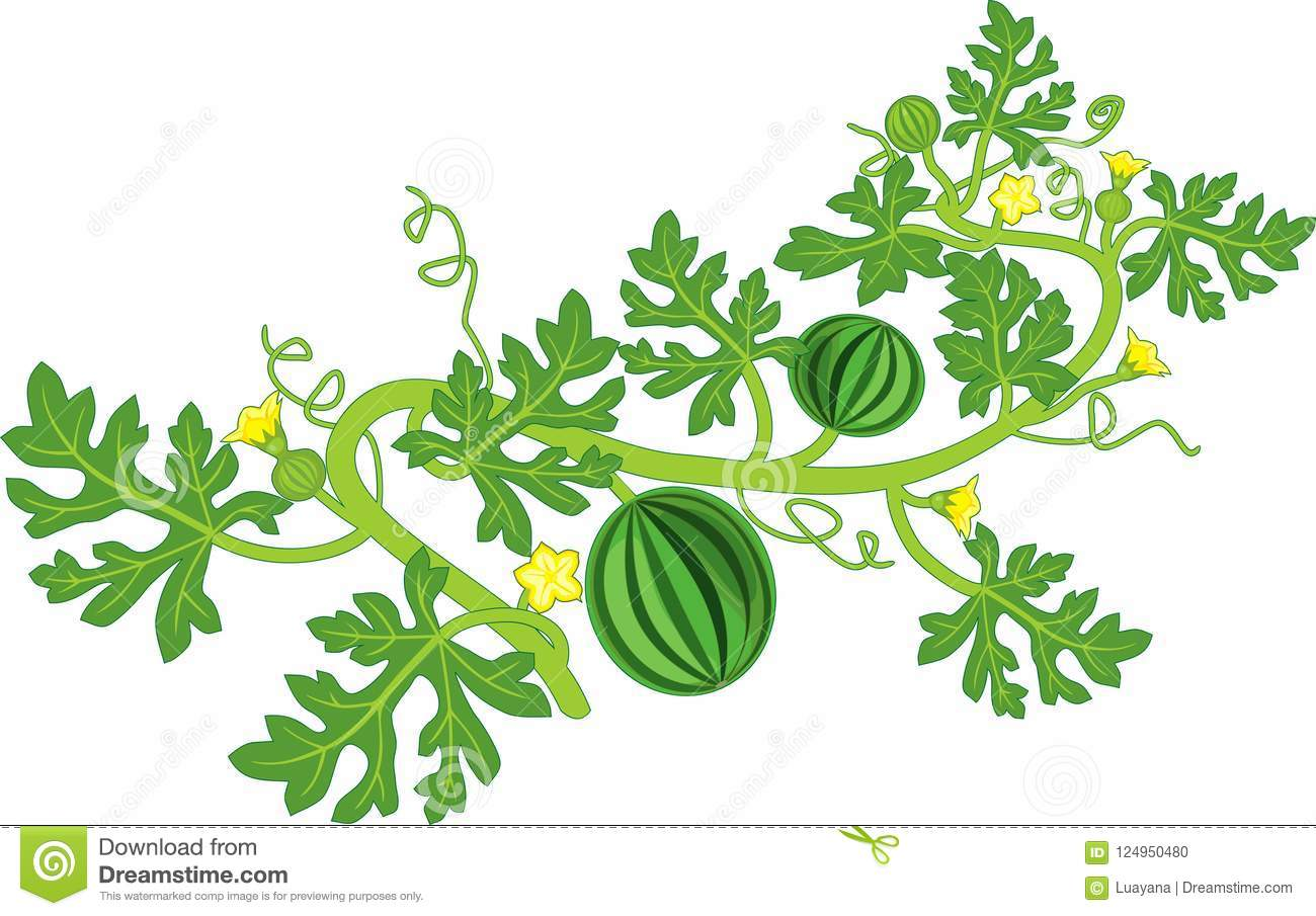 Watermelon Plant With Fruits, Flowers, Green Leaves On ...