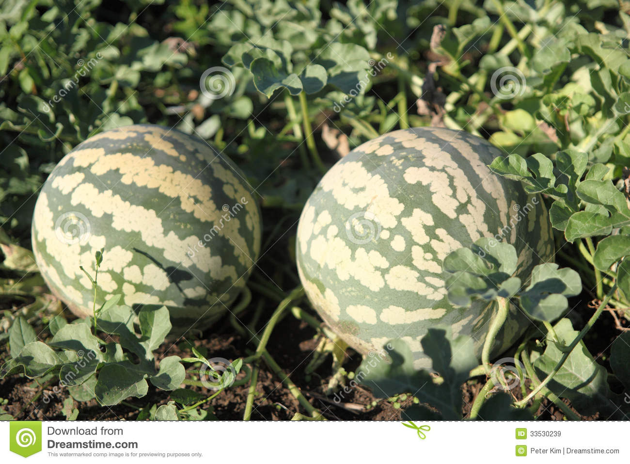 Watermelons growing on the vine in a garden Watermelons On The Vine