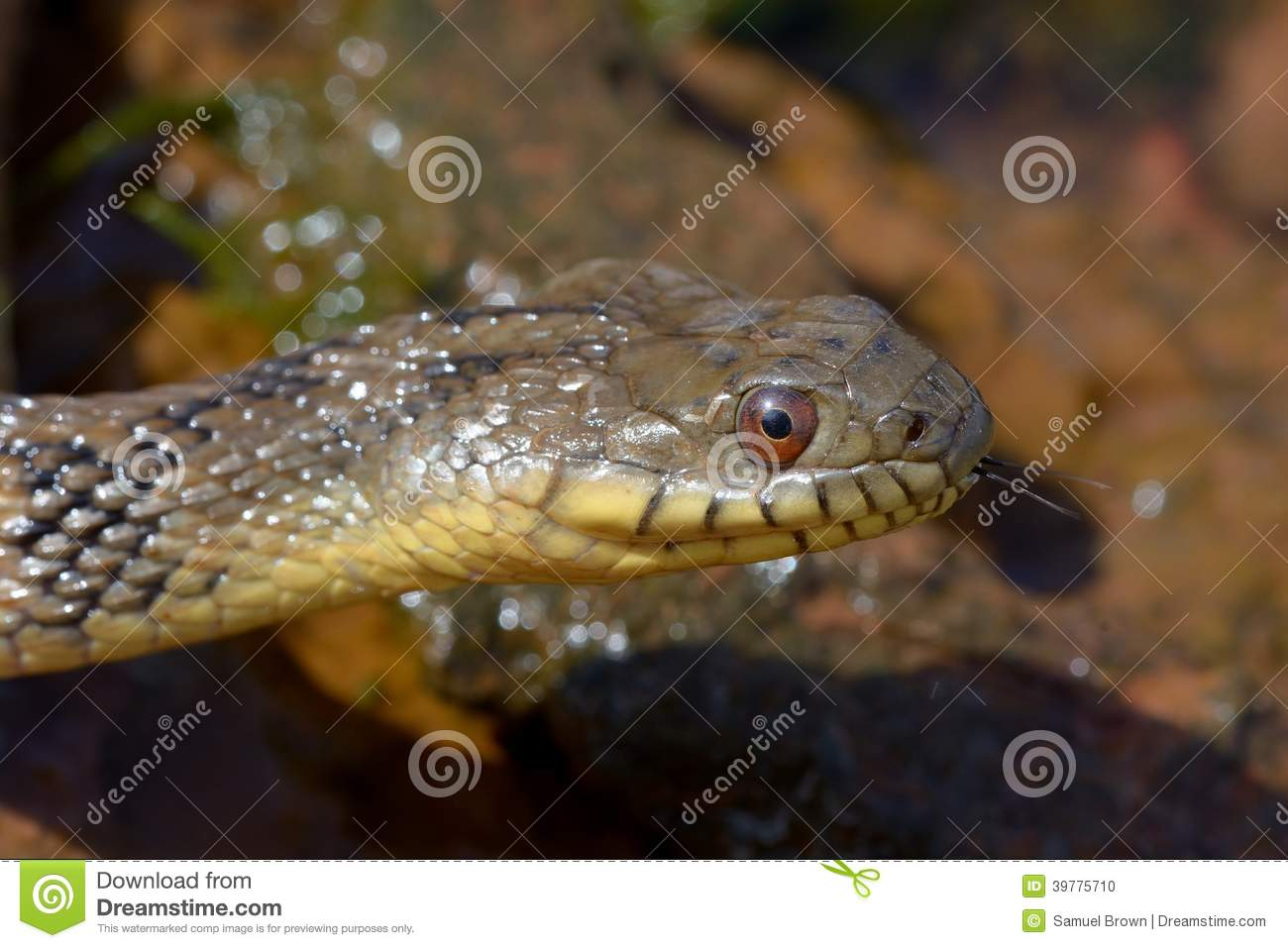 Watersnake de Diamondbacks