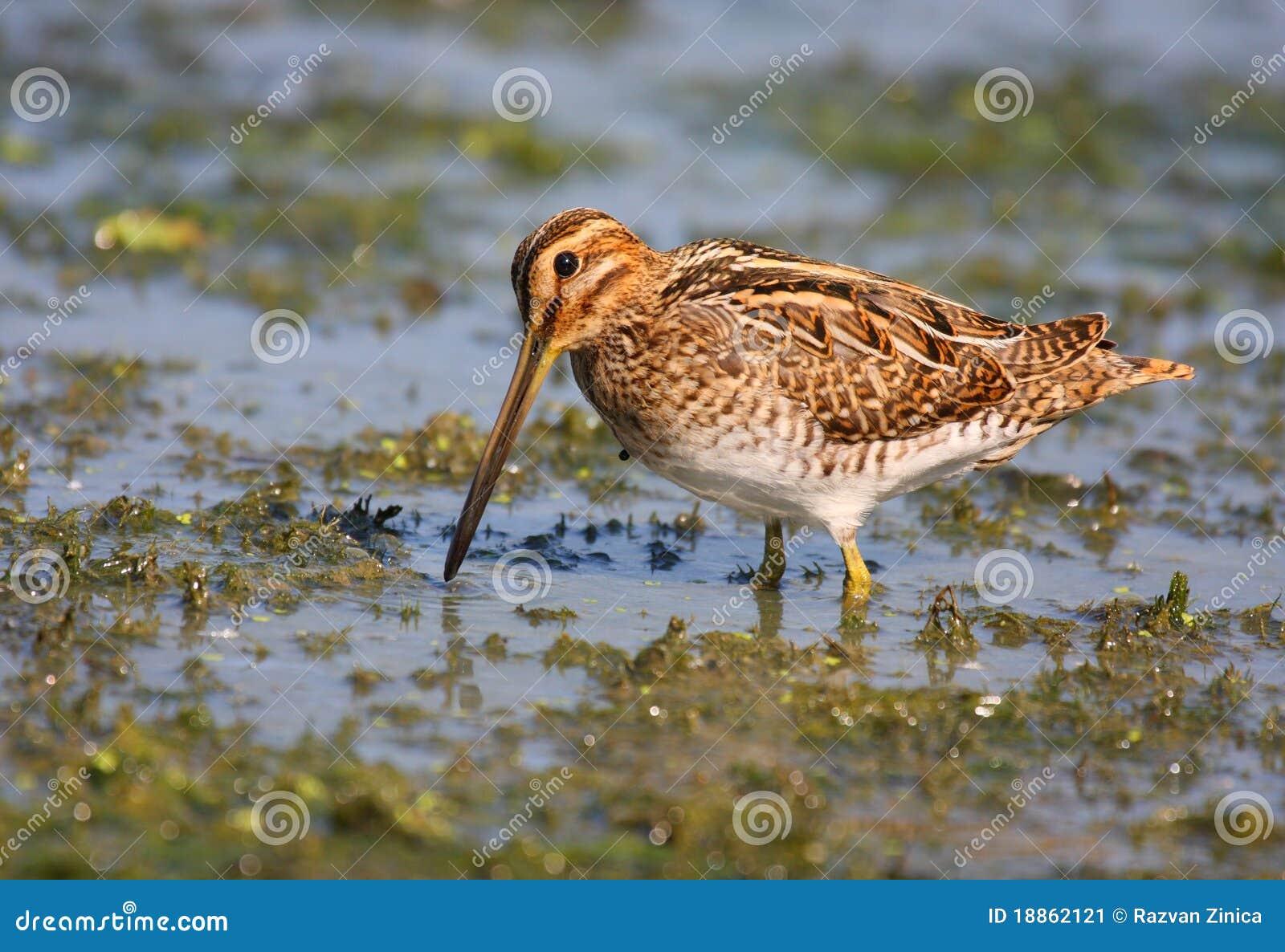 Watersnip in moeras
