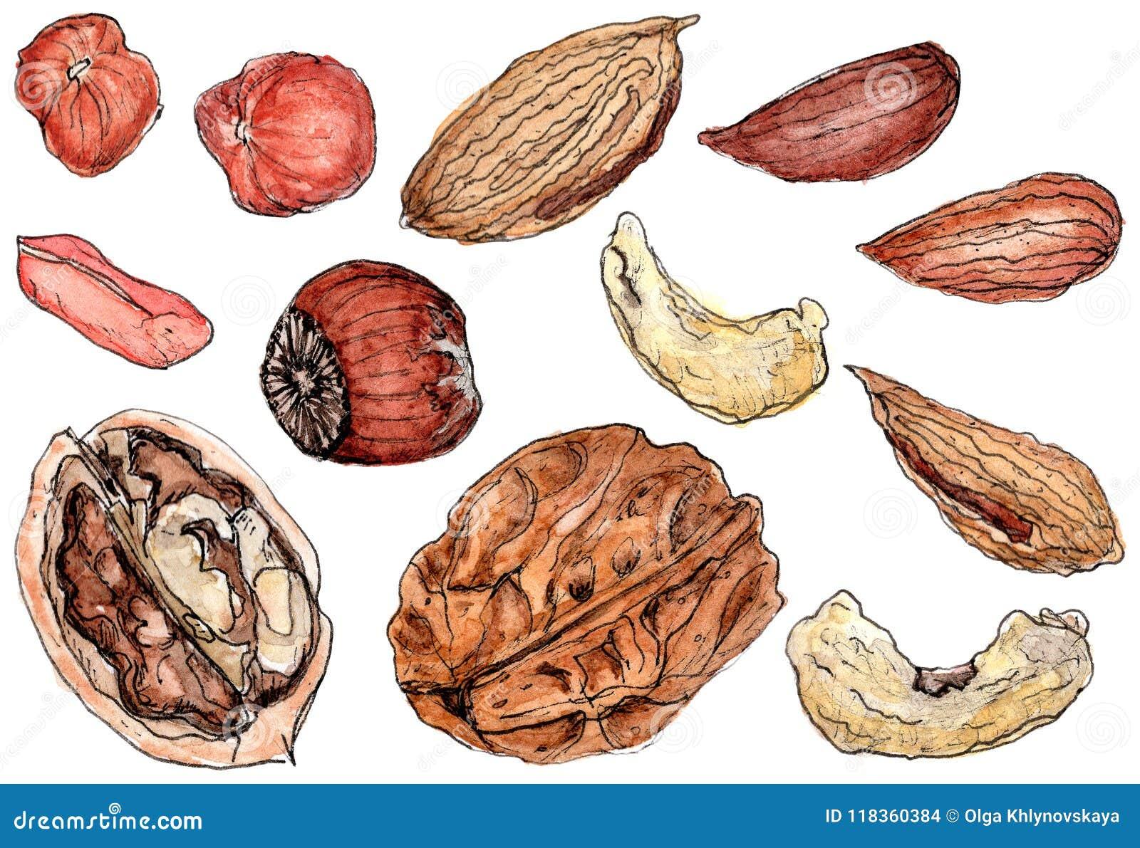 Waterverf smakelijke die noten op wit worden geplaatst
