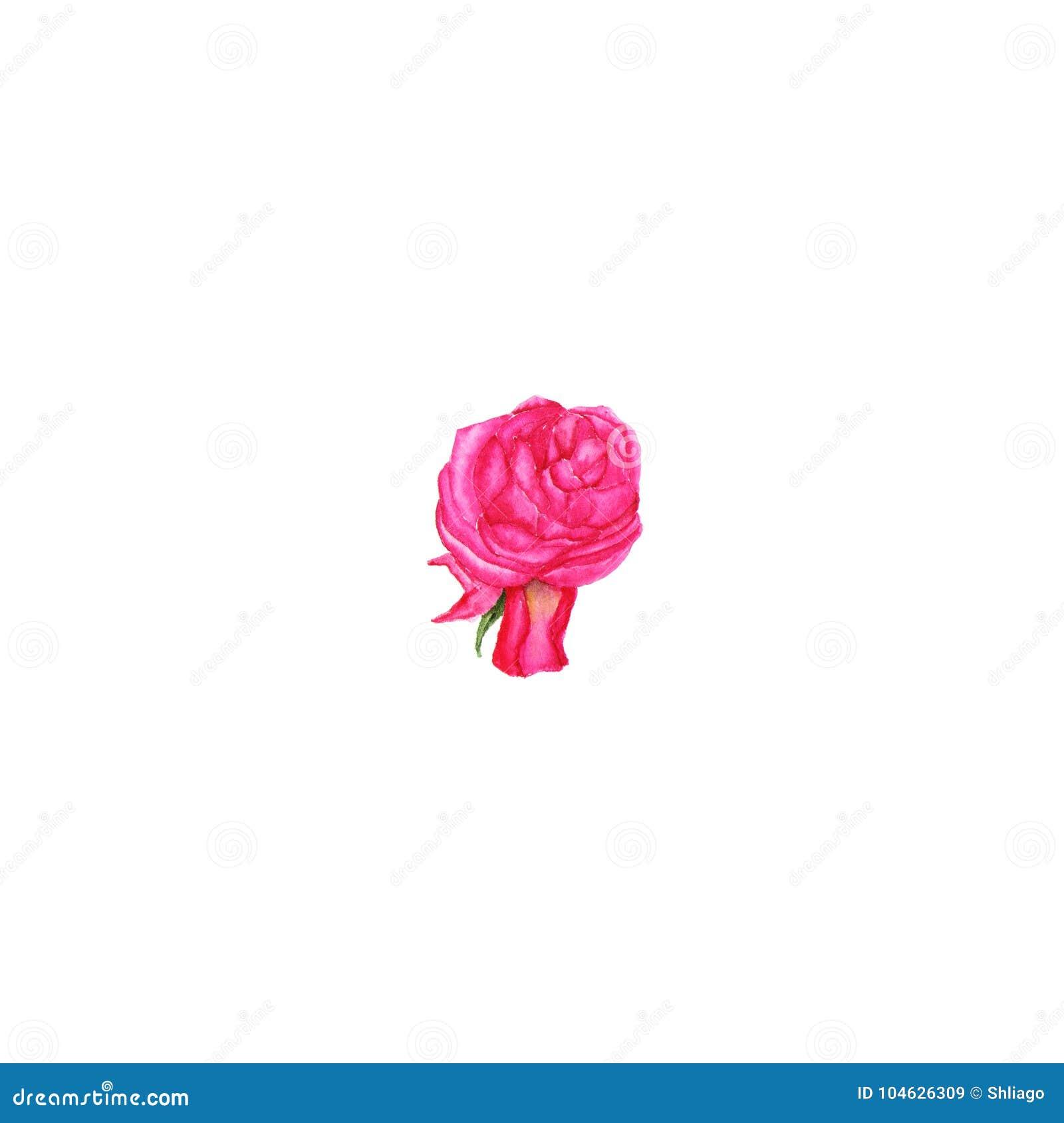 Download Waterverfillustratie Van Roze Knop Op Wit Stock Illustratie - Illustratie bestaande uit nave, bloeiwijze: 104626309