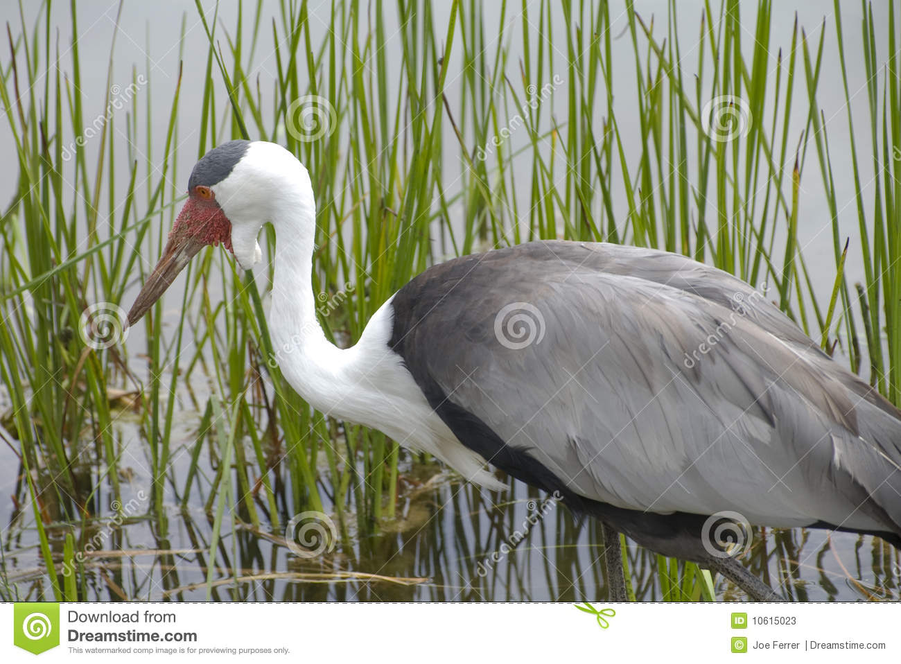 Wattled Crane in Natural Wetlands Habitat