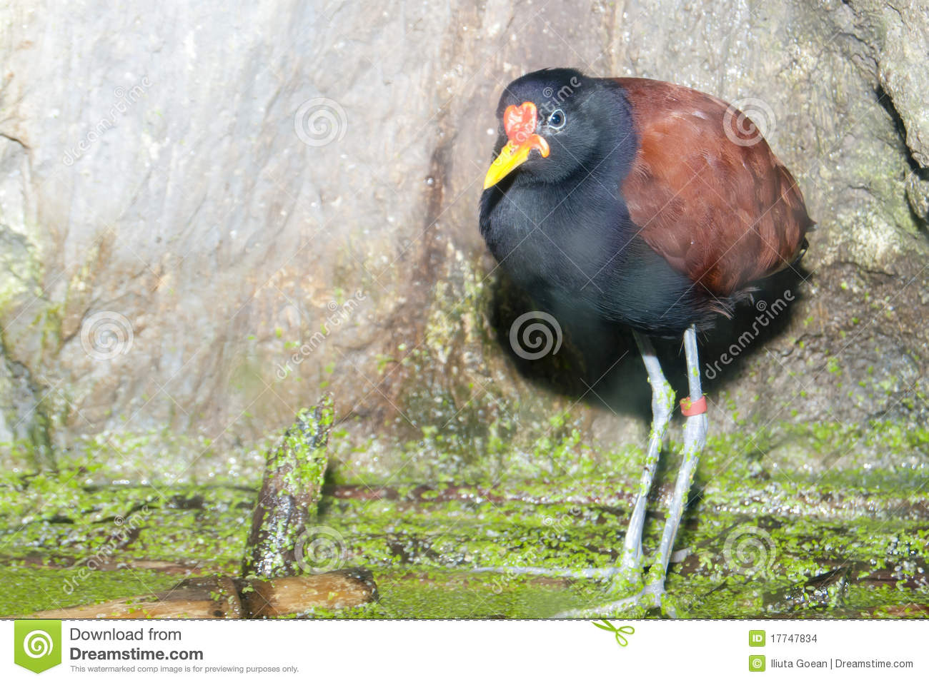 Wattled Jacana on water vegetation