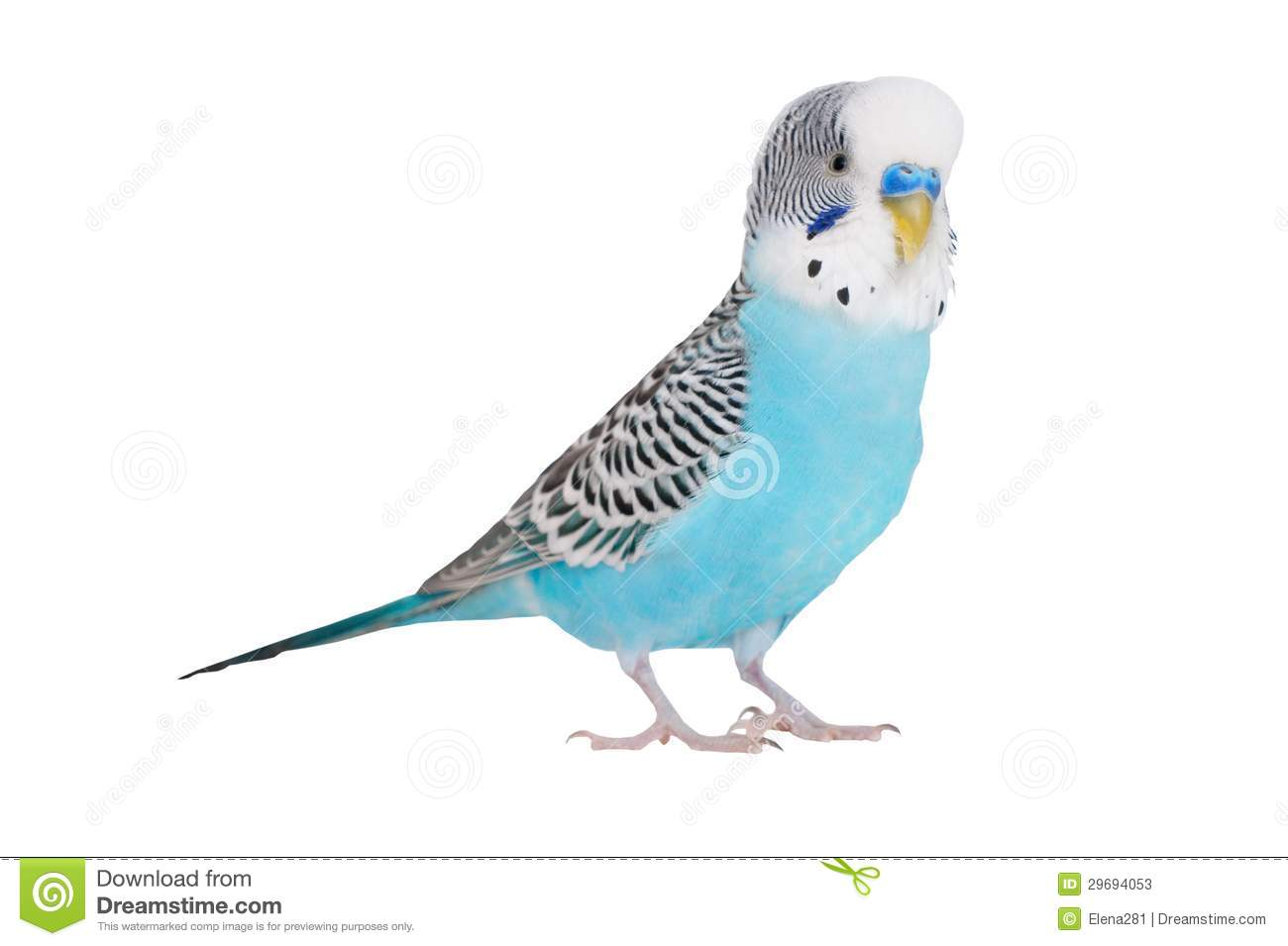 What is interesting wavy parrots, how to determine the age and gender 51