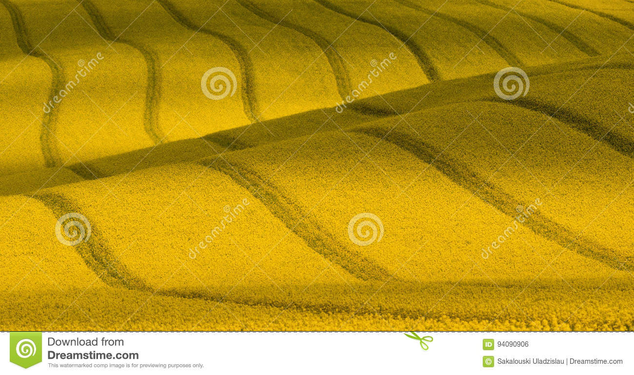 Wavy yellow rapeseed field with stripes and wavy abstract landscape pattern. Corduroy summer rural landscape in yellow tones.