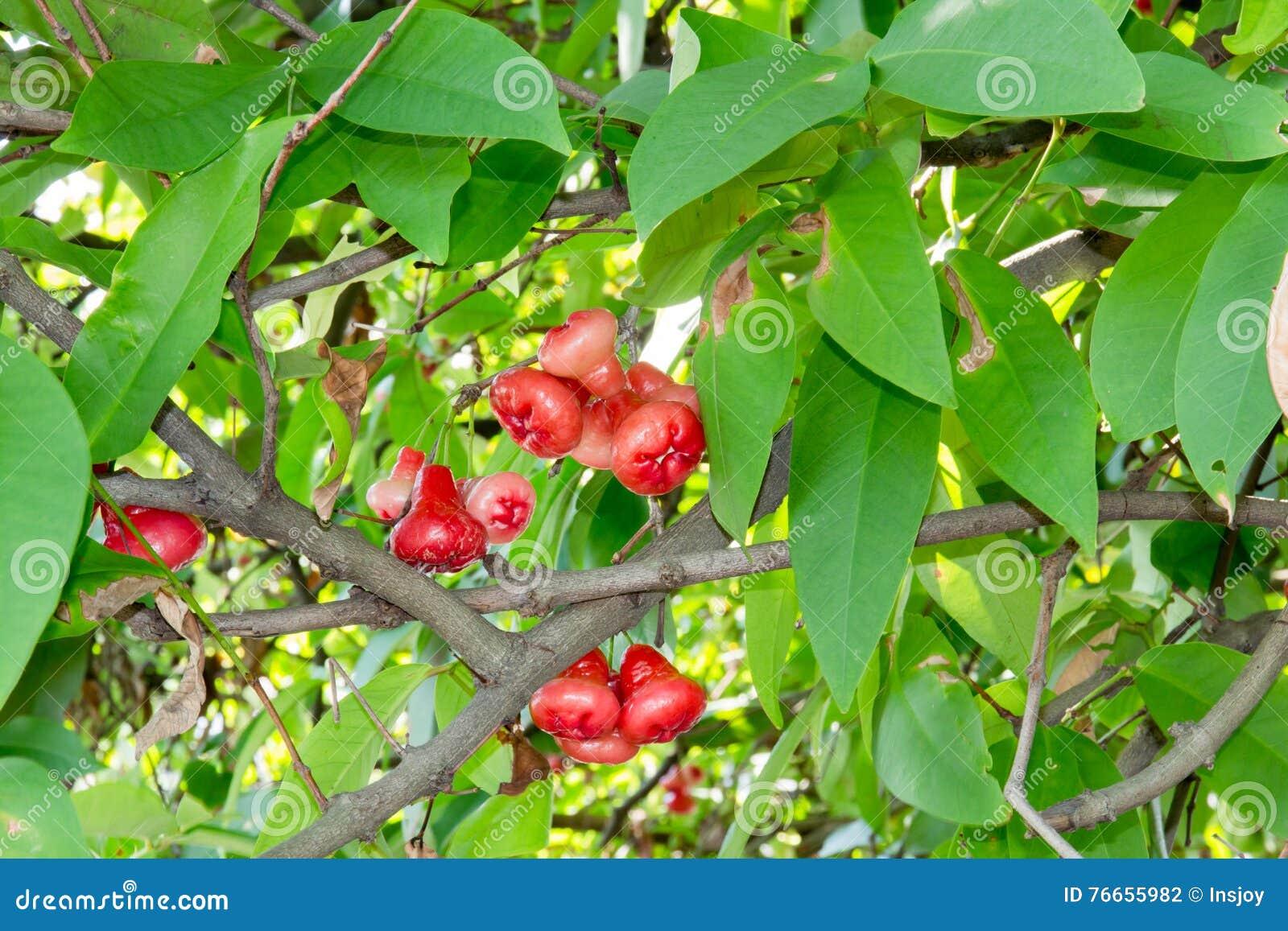 Wax apple stock photo  Image of plum, malay, fresh