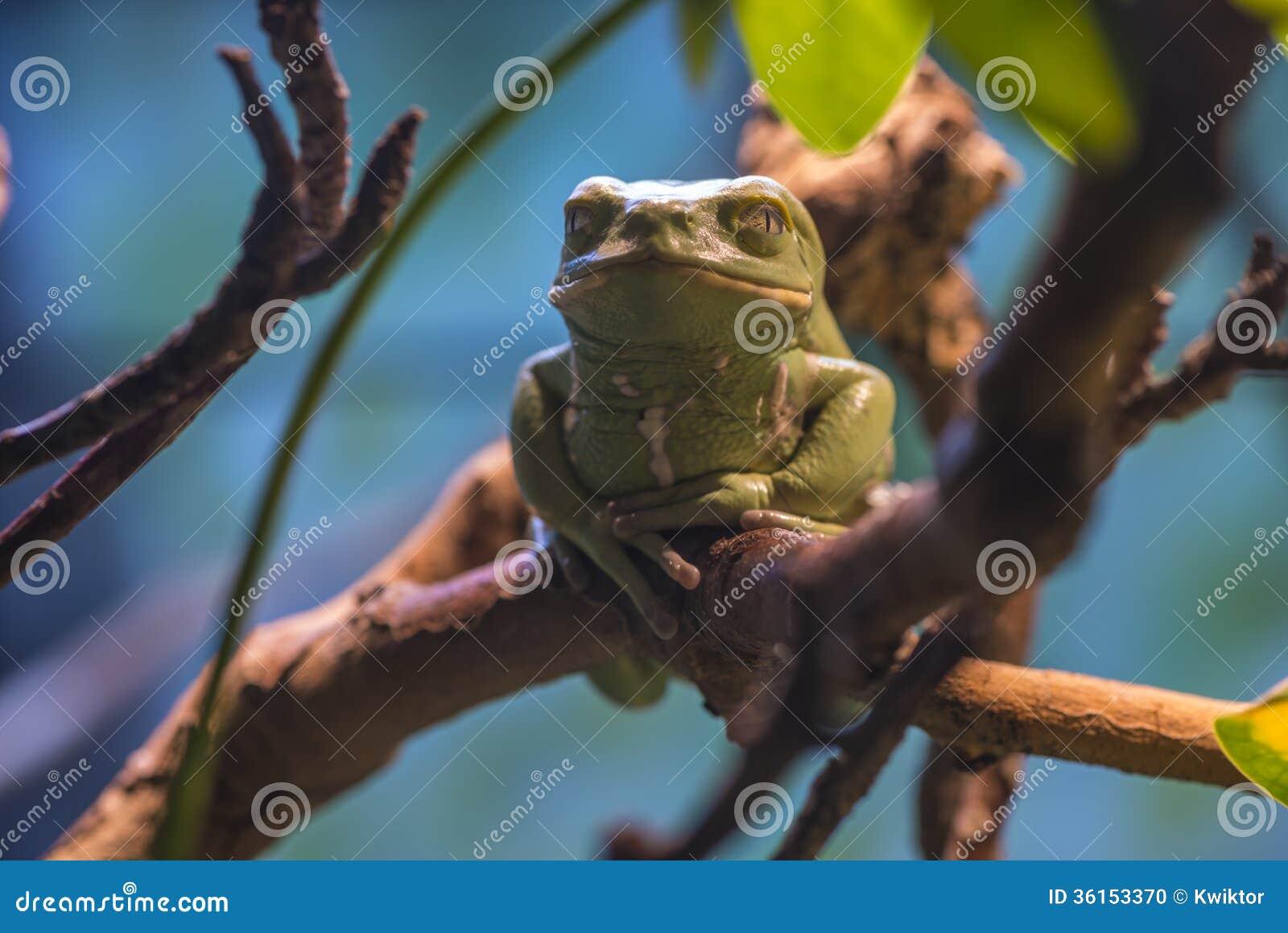 Wax Tree Frog - Hyperoliidae Stock Photo - Image: 36153370