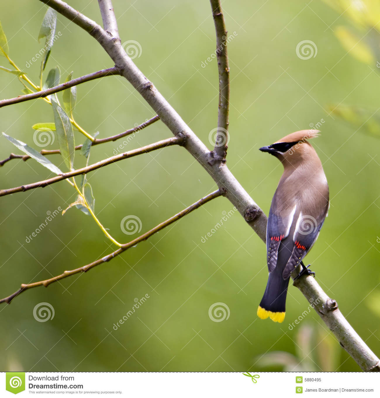 Waxwing perched