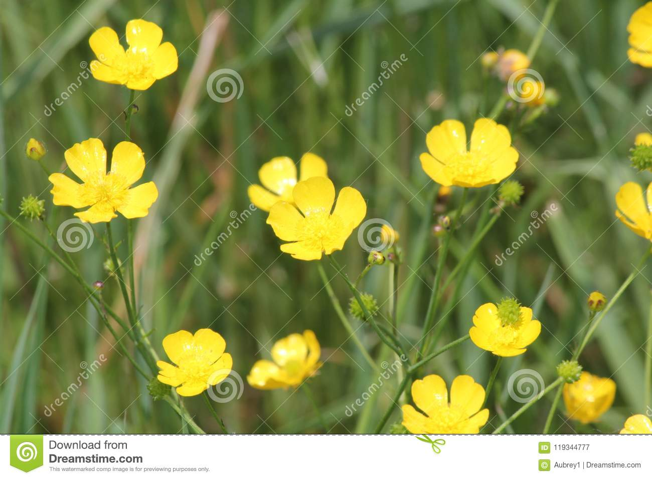 Buttercup Flower Ranunculaceae Stock Image Image Of Nature Spring