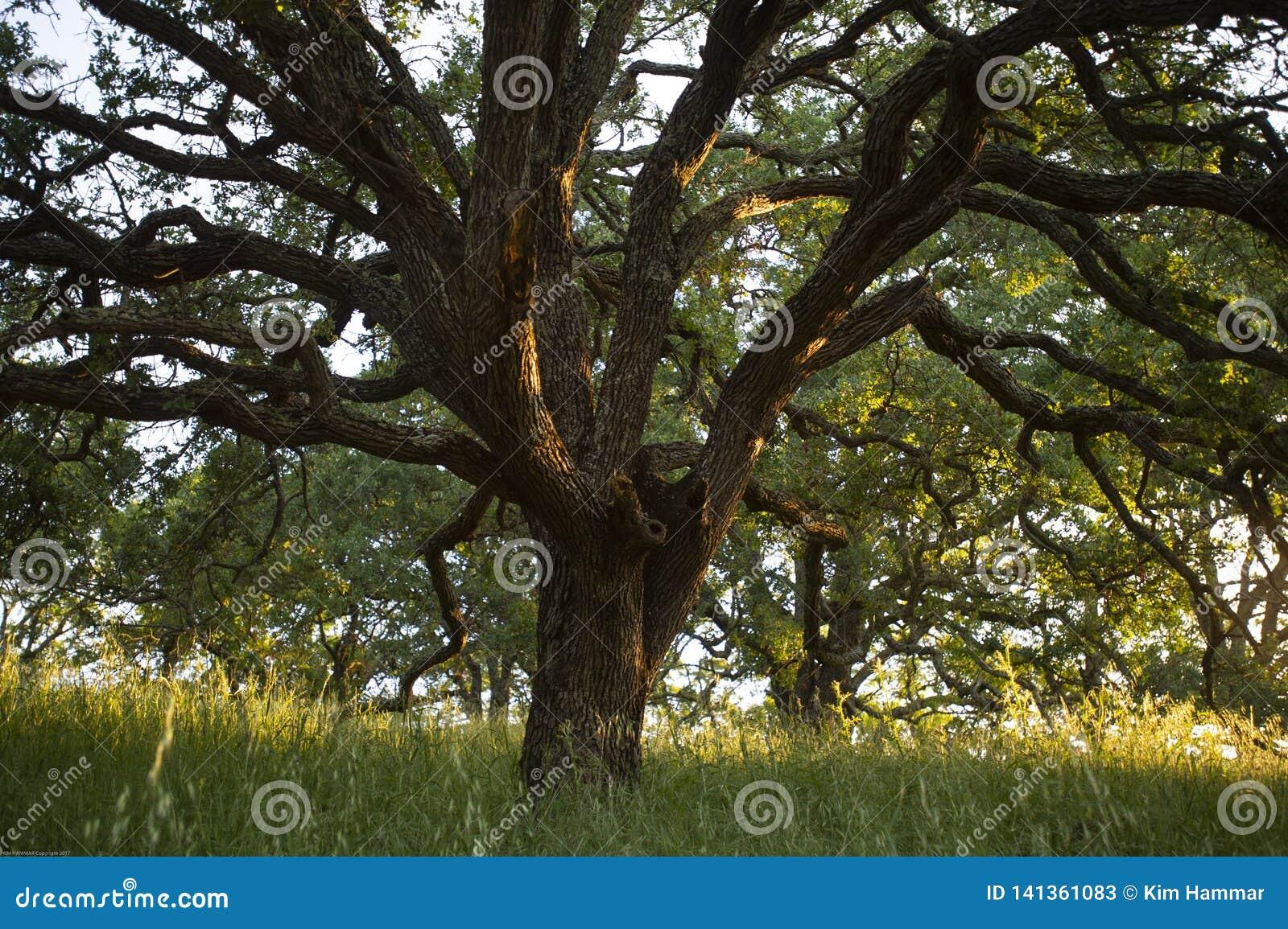 Wczesnego poranku światło słoneczne podkreśla majestatycznego błękitnego dębowego drzewa w lasach góra Wanda