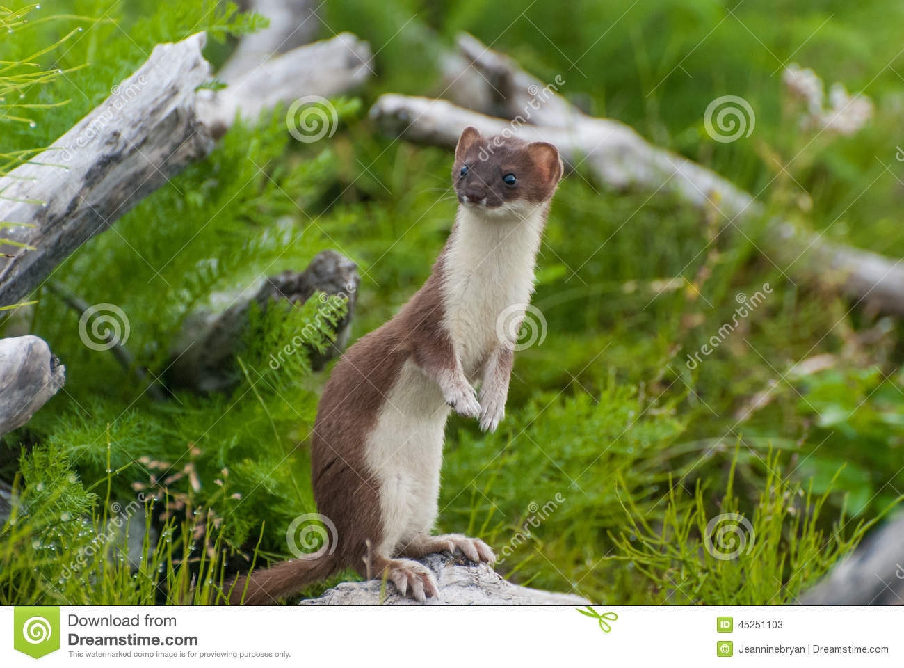 weasel stock photo image 45251103 weasel clipart black and white Shark Clip Art