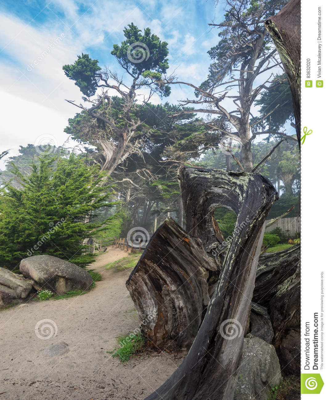 Weathered Monterey Cypress trees at the coast