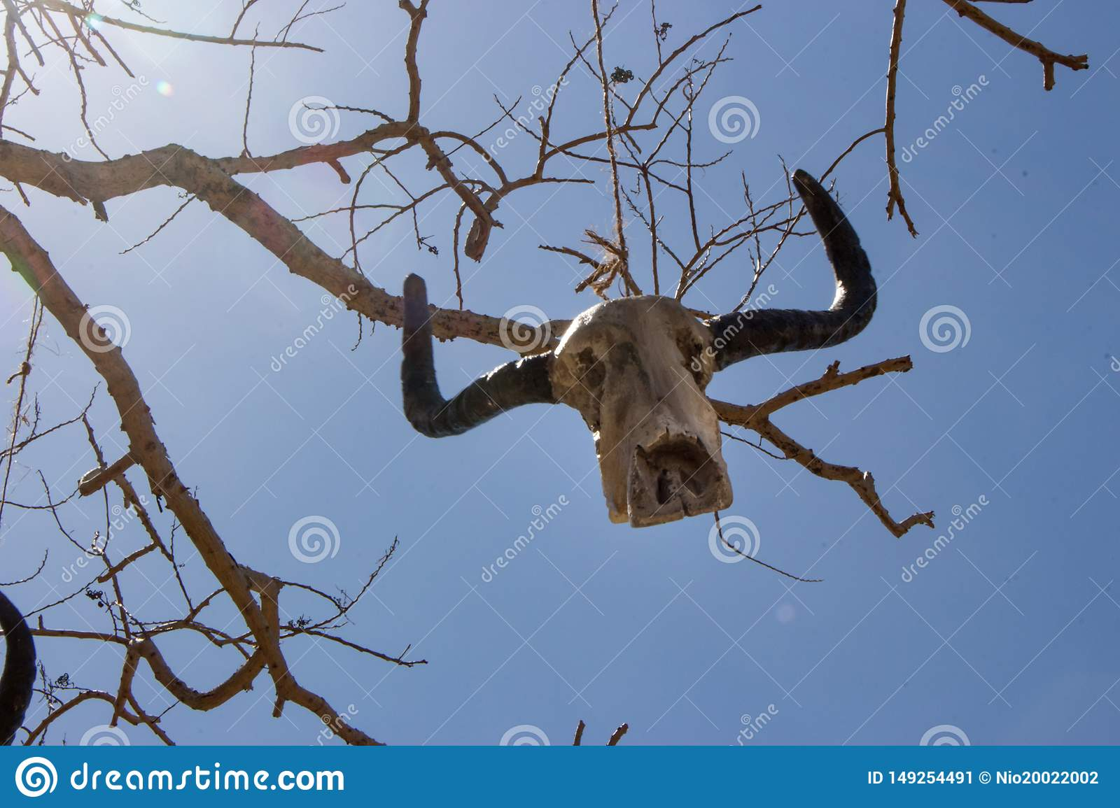 Weathered skull of cow on bare branches. Bull skull hanging on rope. Death and sacrifice concept. Head of dead cow.