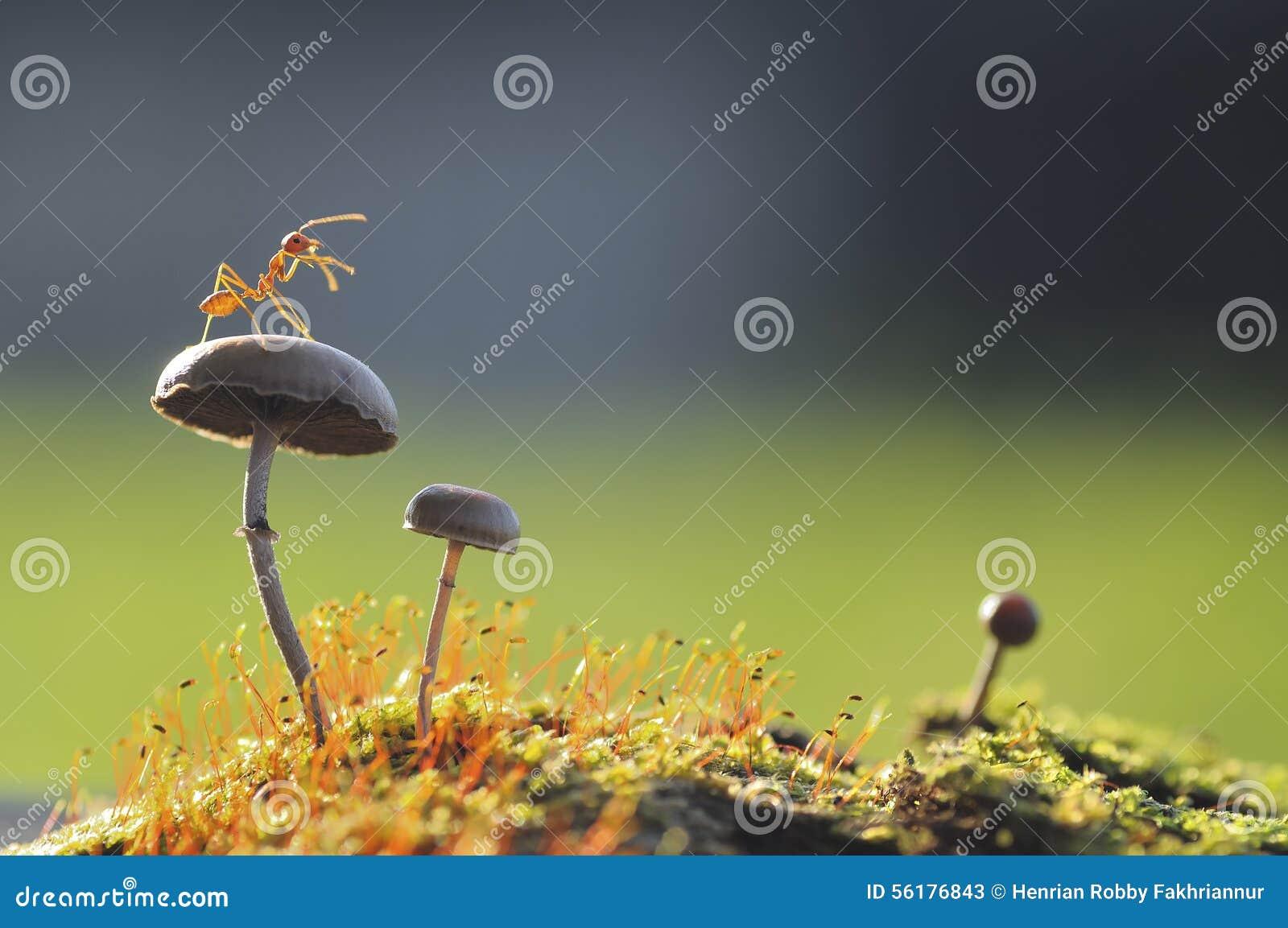 Weaver Ant on a mushroom