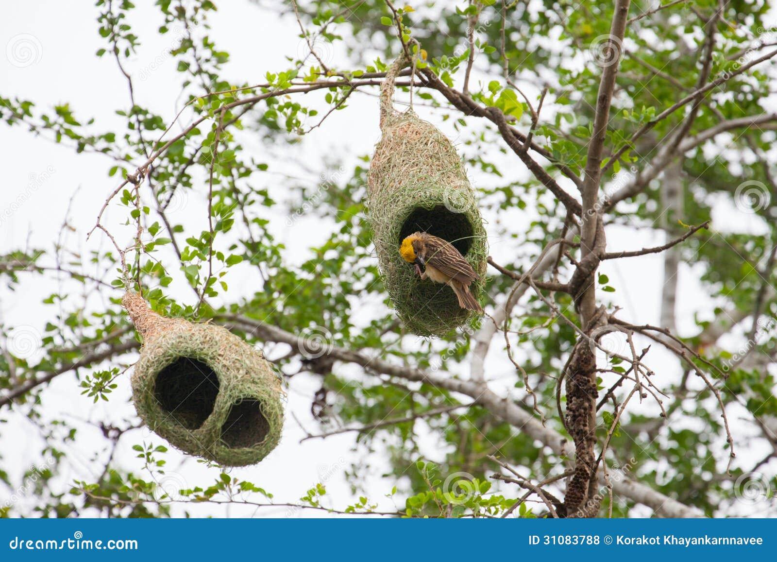 The Baya Weaver (Ploceus philippinus) is a weaverbird found across ...