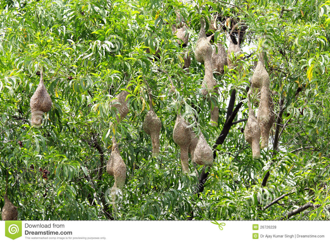Weaver Birds Nests Hanging On A Tree Stock Photo - Image ...