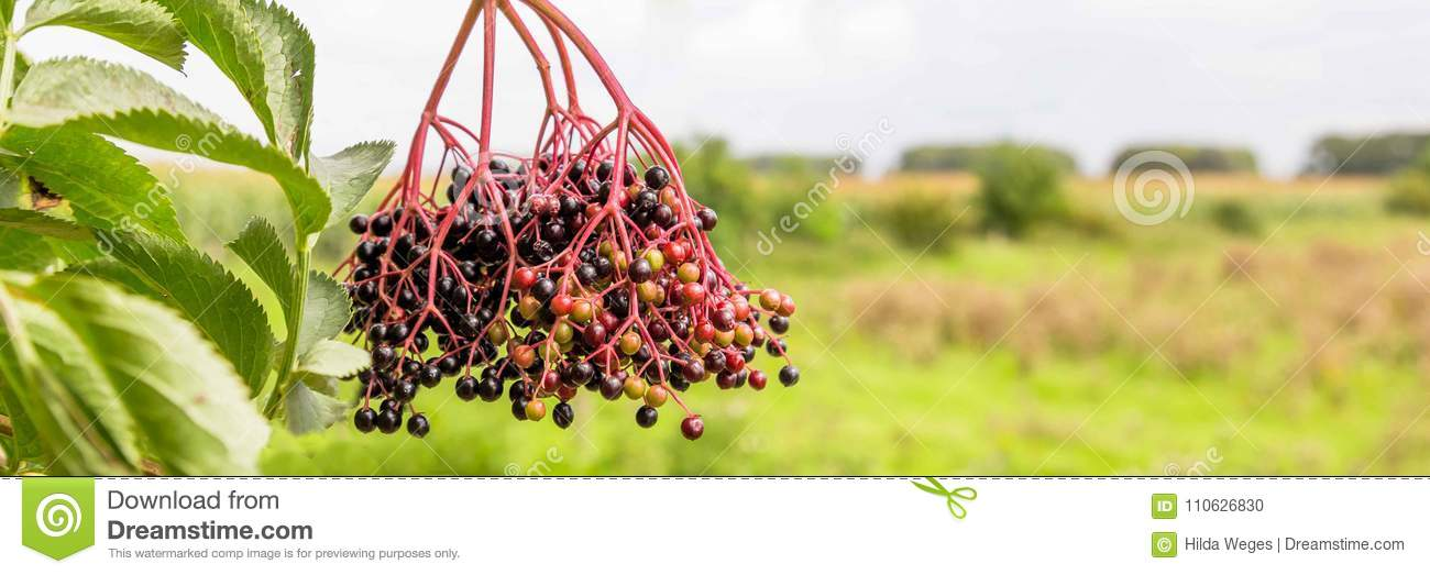 f7c8b84330fb Web Banner With Elderberry Busch Stock Photo - Image of drink