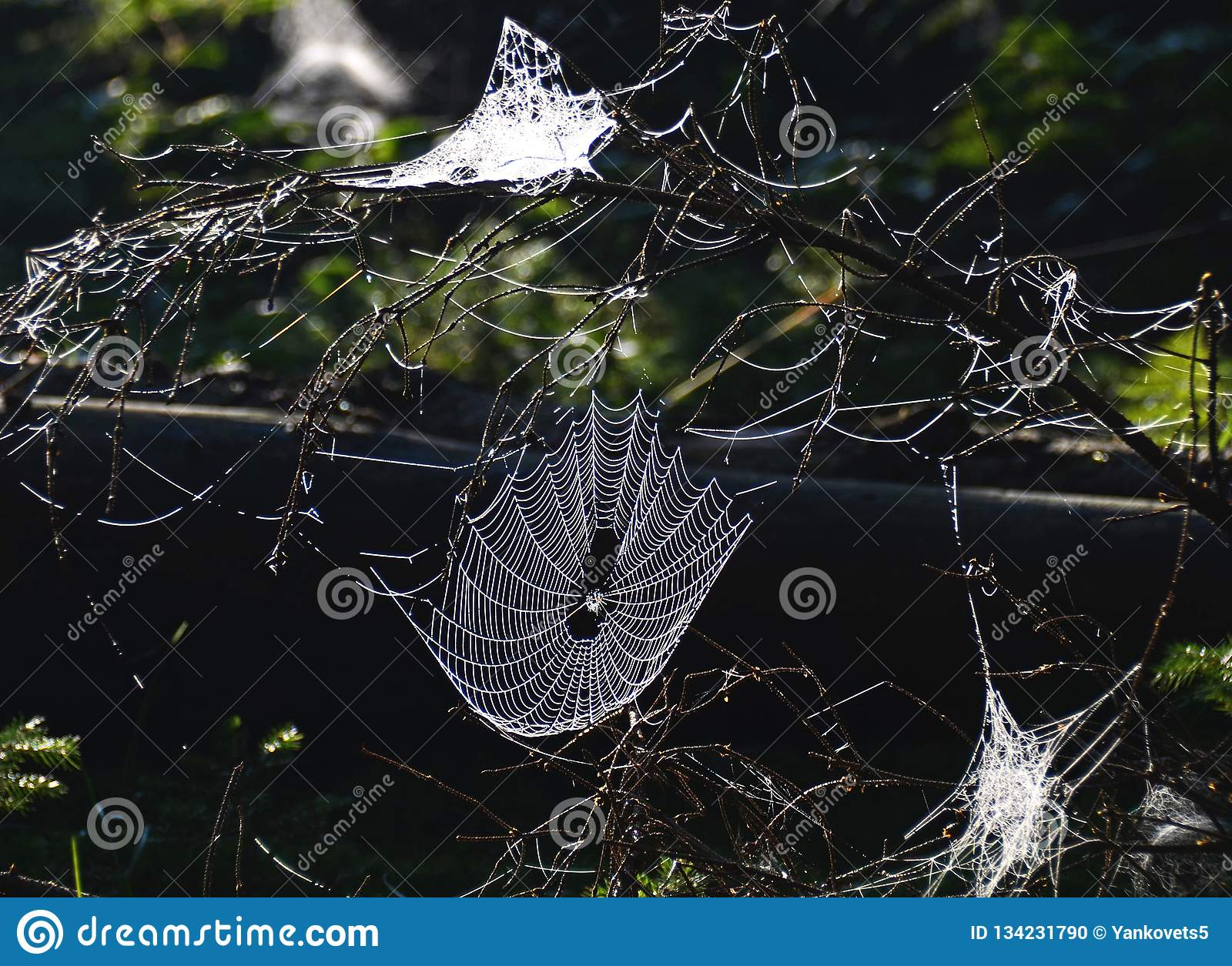 Web de aranha transparente no luminoso na floresta