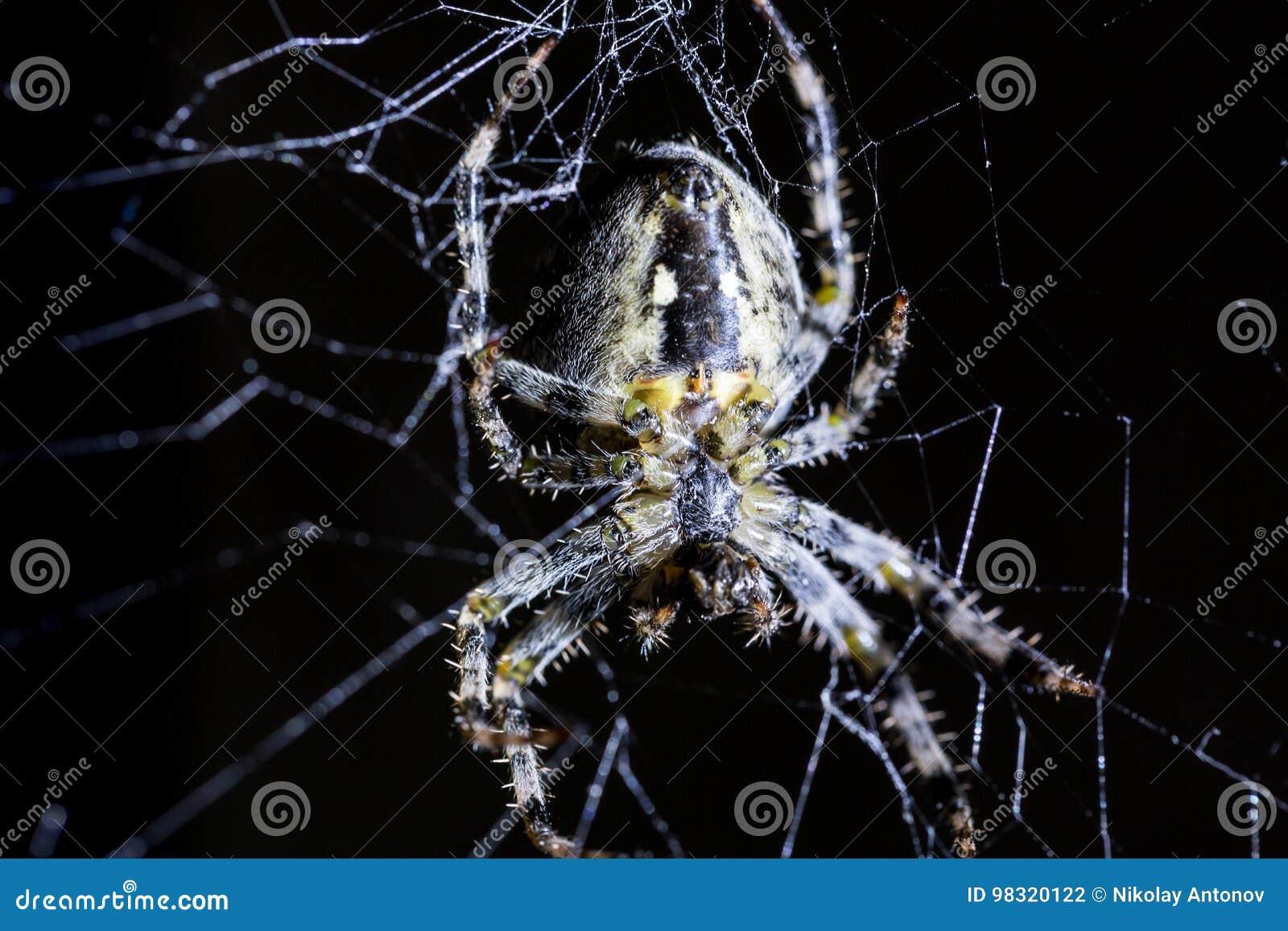 Web de la araña y del ` s de la araña en fondo negro Arácnido que sube el web Imagen macra ascendente cercana del extremo