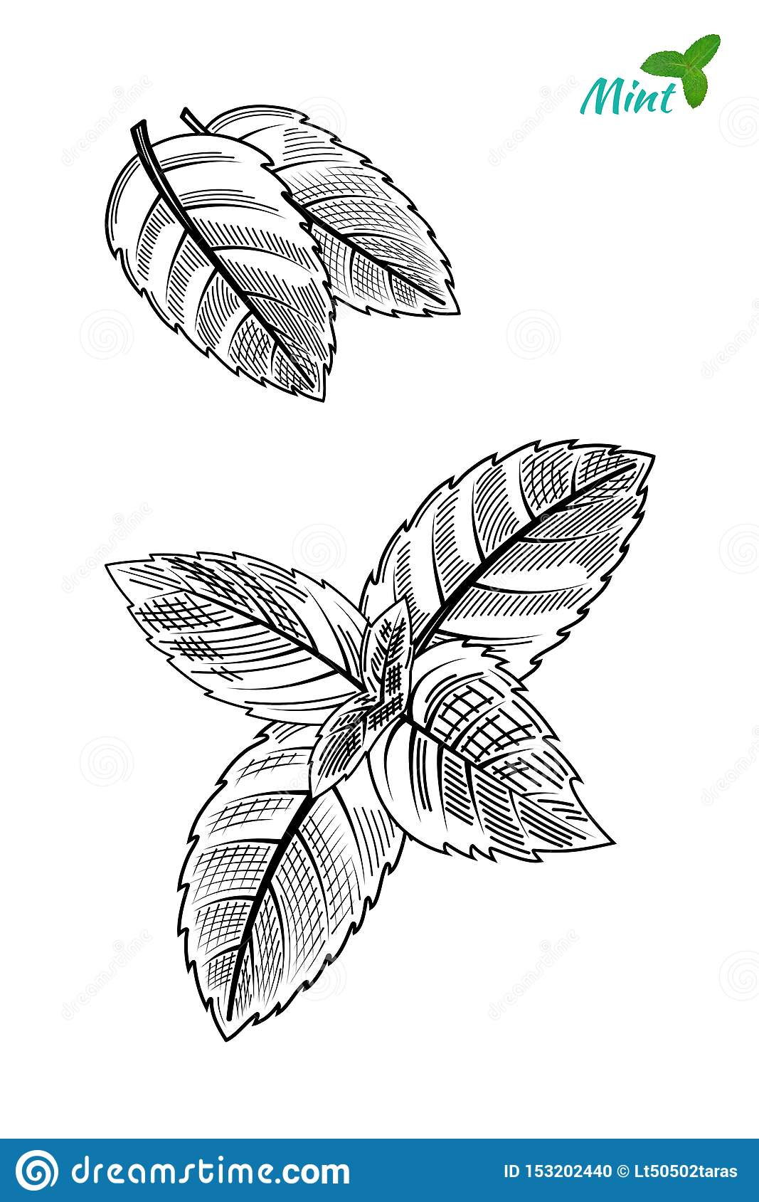 Hand drawn sketch style mint leaves. Vector.