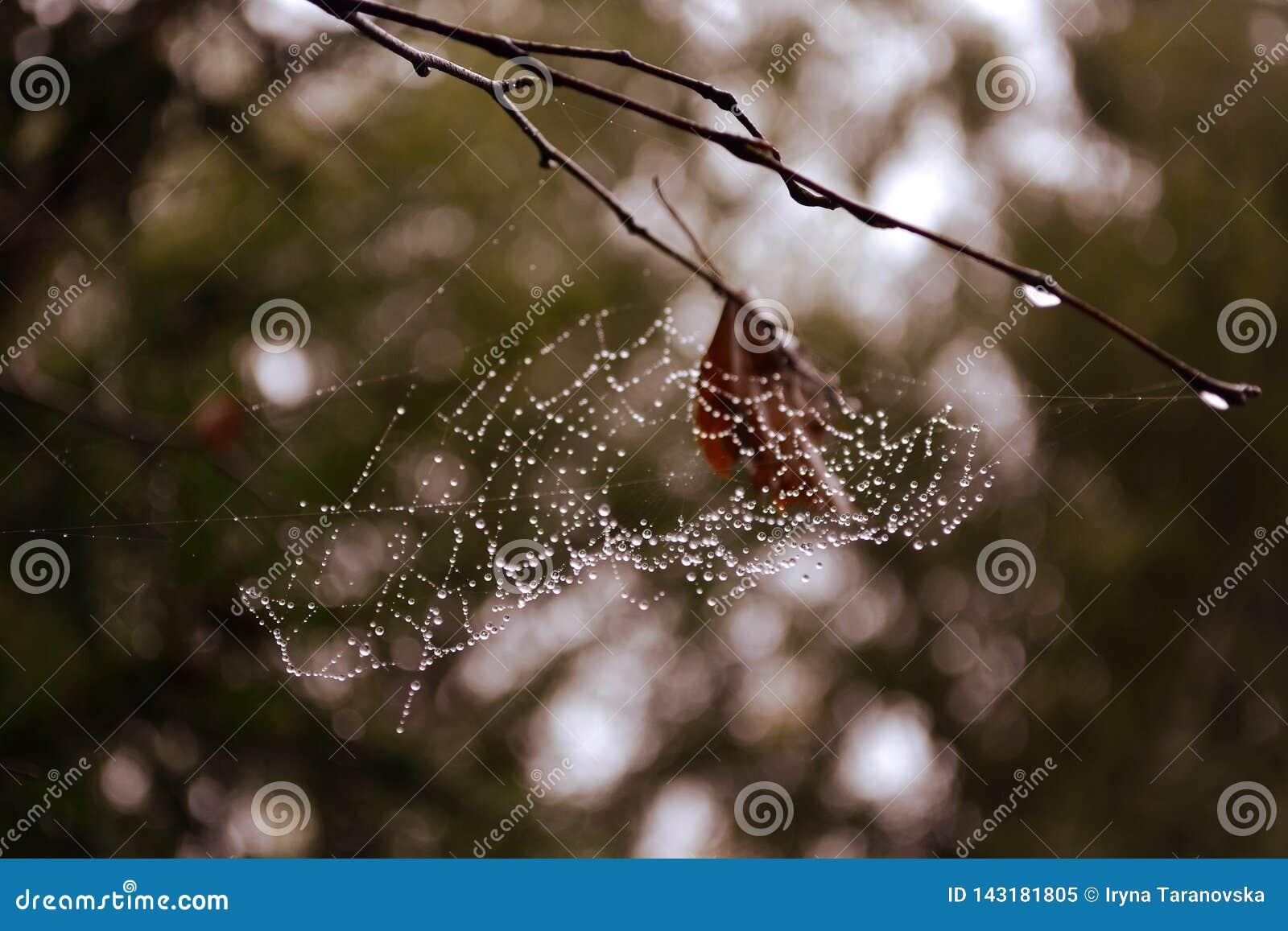 Web nos ramos no orvalho de uma floresta enevoada