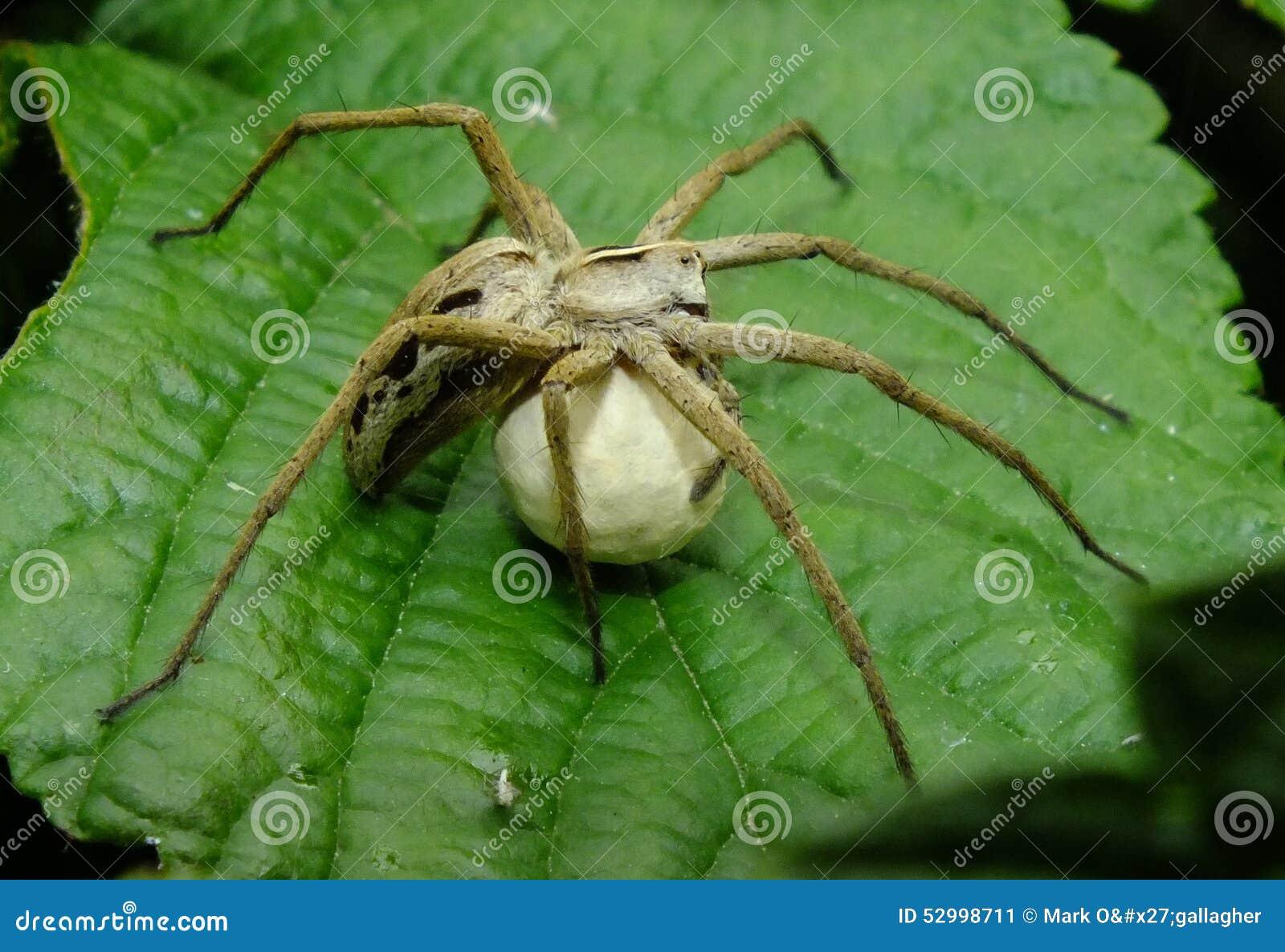 Web spider de crèche avec le sac d oeufs
