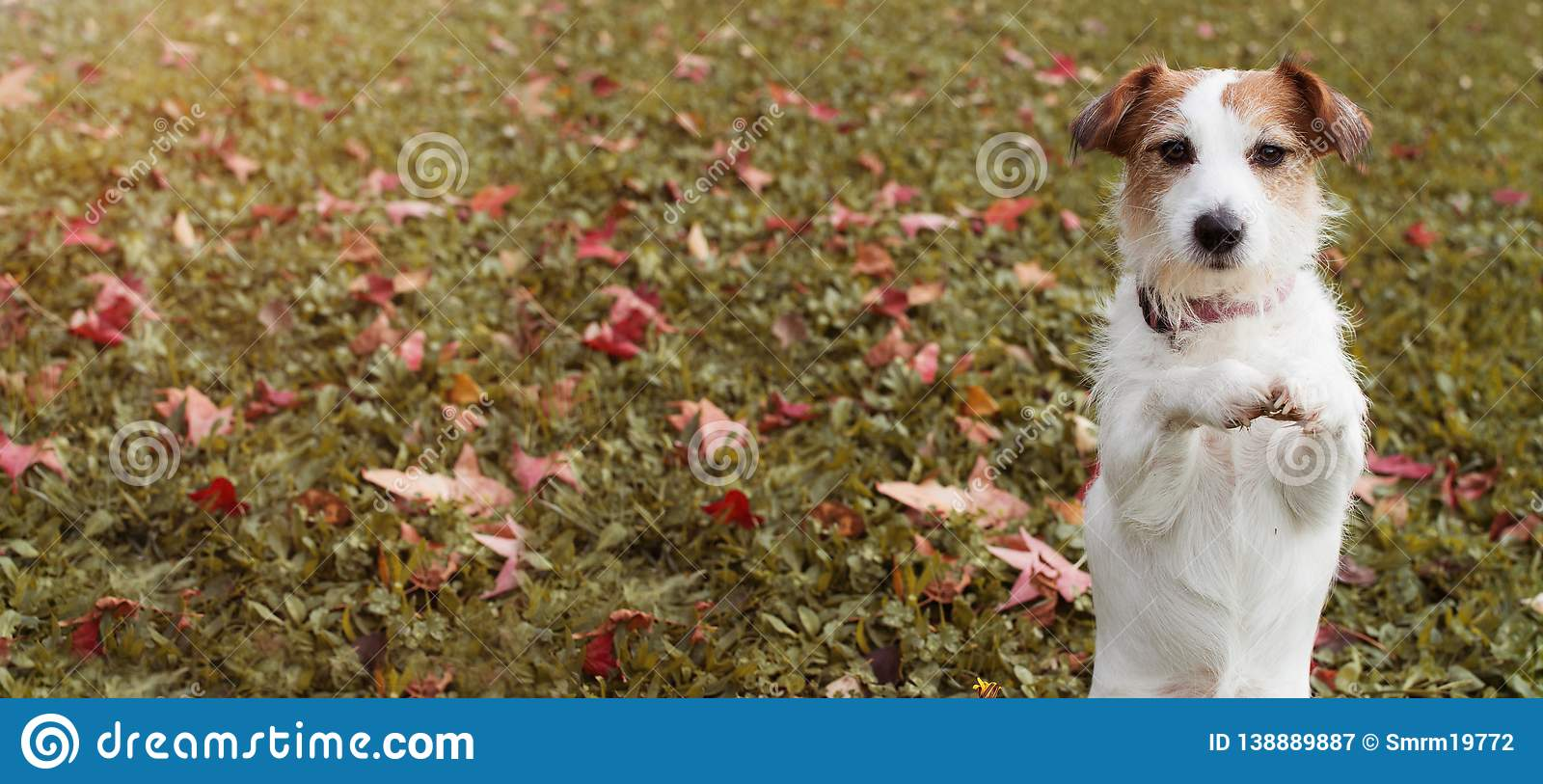WEBSIDE BANNER AUTUMN DOG. JACK RUSSELL PUPPY STANDING ON TWO HIND LEGS AND PRAYING WITH ITS FRONT PAWS ON FALL LEAVES GRASS