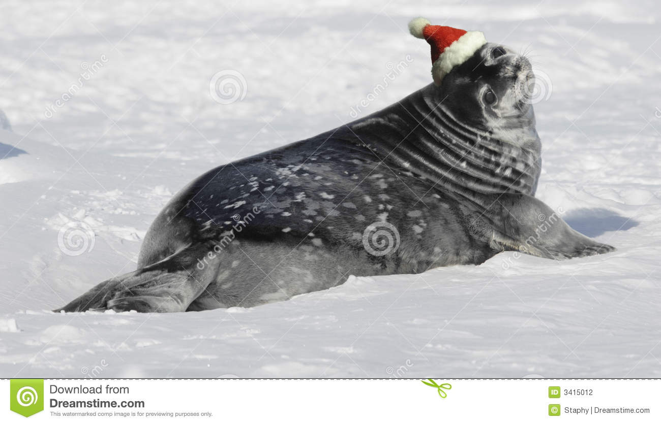 Weddell Seal Baby At Christmas Stock Photography Image