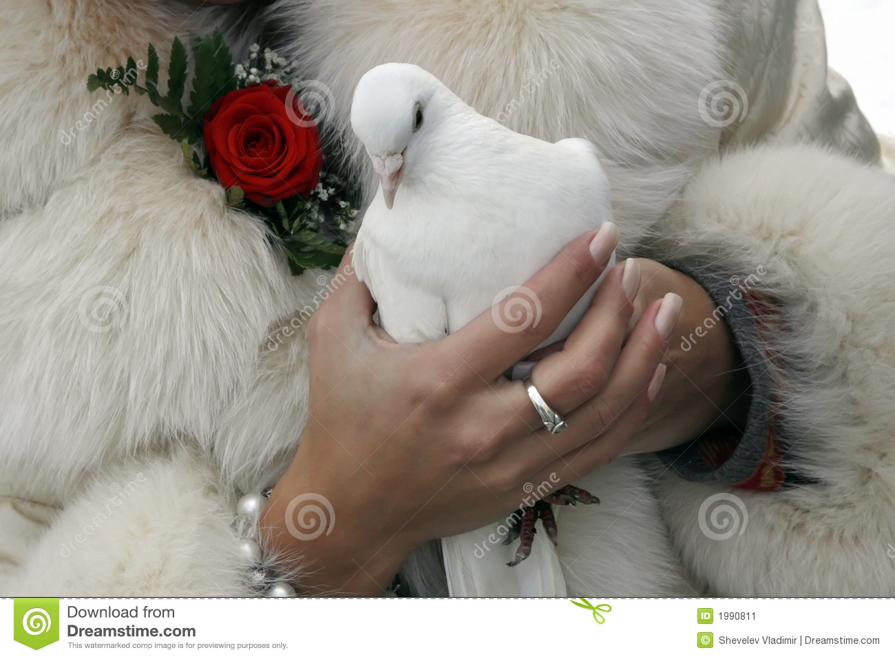 Wedding white pigeon stock image image of matrimony flower 1990811 wedding white pigeon biocorpaavc