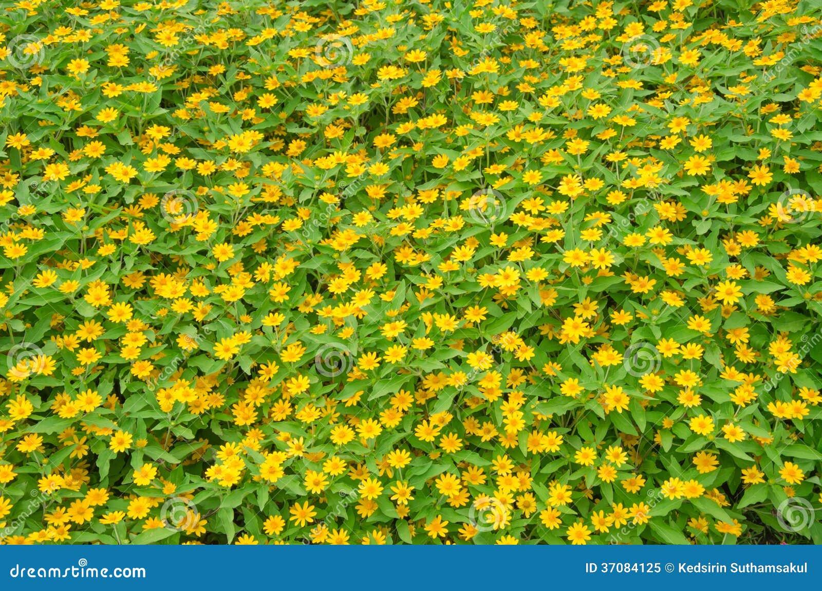 Download Wedelia Trilobata Kwiatu Tło Obraz Stock - Obraz złożonej z macro, flory: 37084125