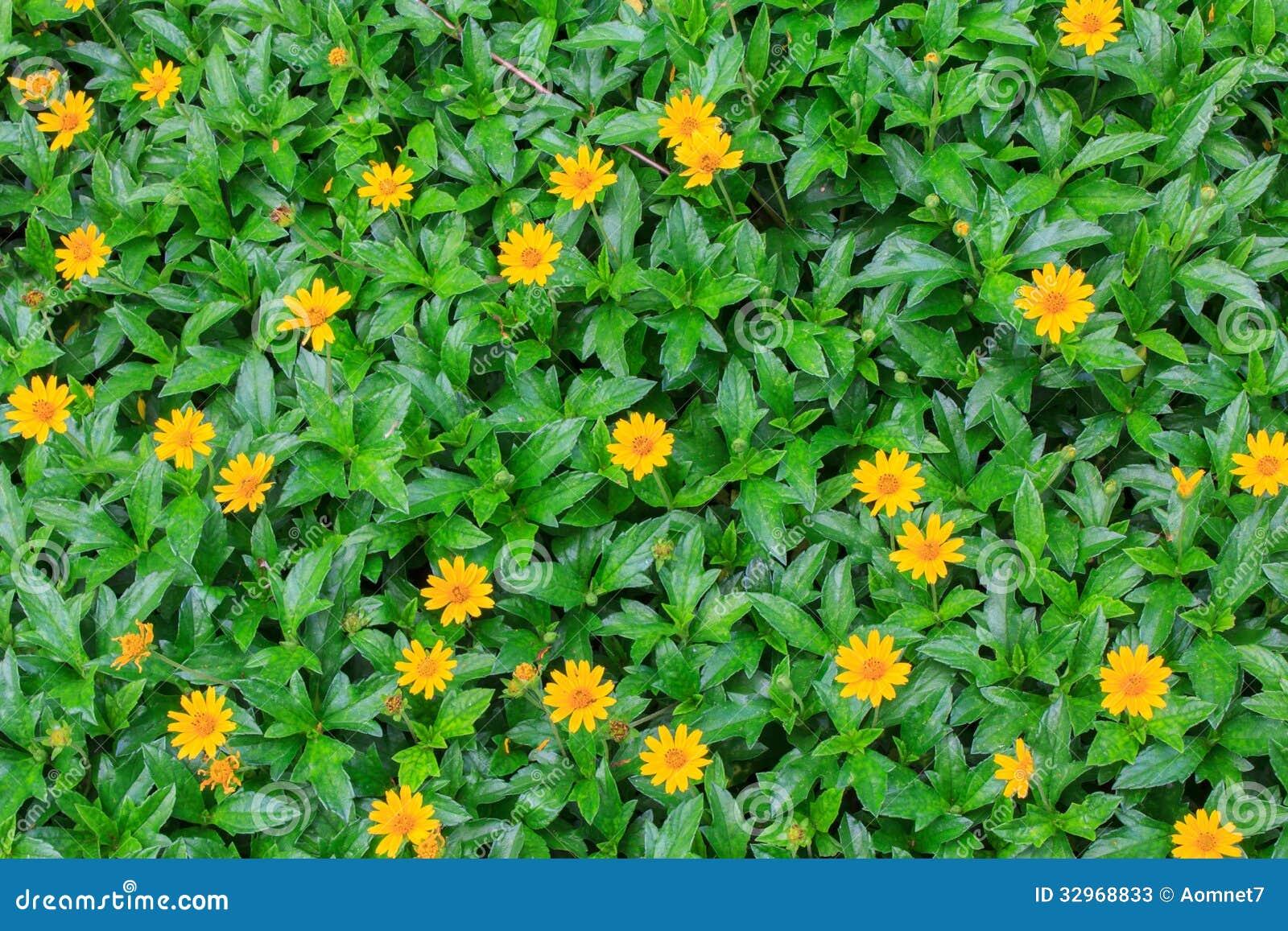 Wedelia or Sphagneticola Trilobata flowers background.