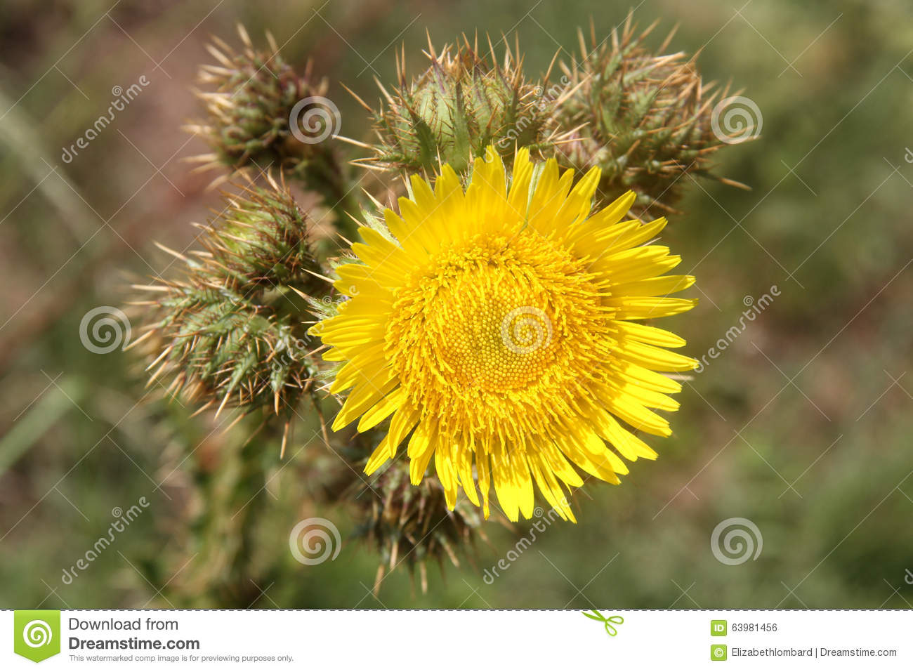 Weed Flower Stock Photo Image Of Yellow Flower Weed 63981456