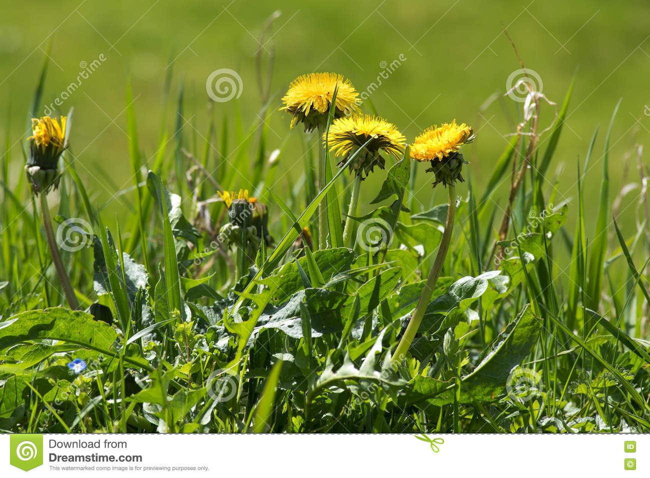 Weed In The Lawn Dandelion With Yellow Flowers Stock Photo Image