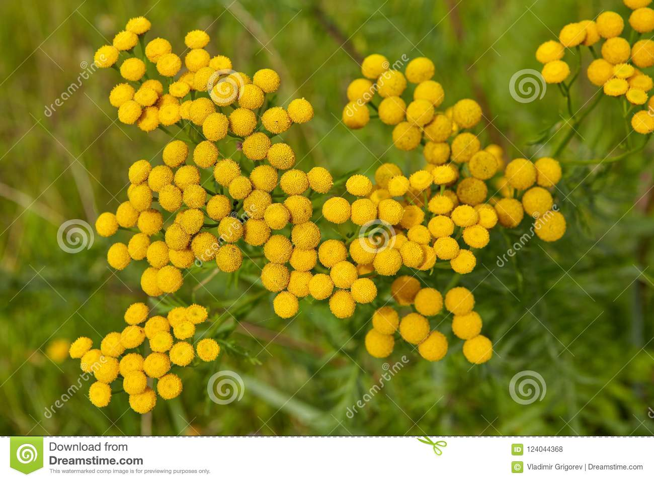 Weed Yellow Flowers In Countryside Stock Photo Image Of Bitter
