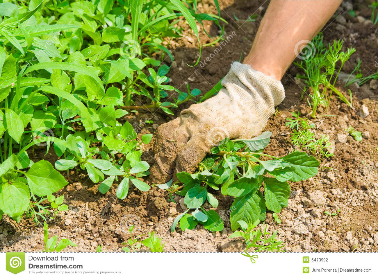 Weeding garden stock photography image 5473992 for Weeds garden maintenance