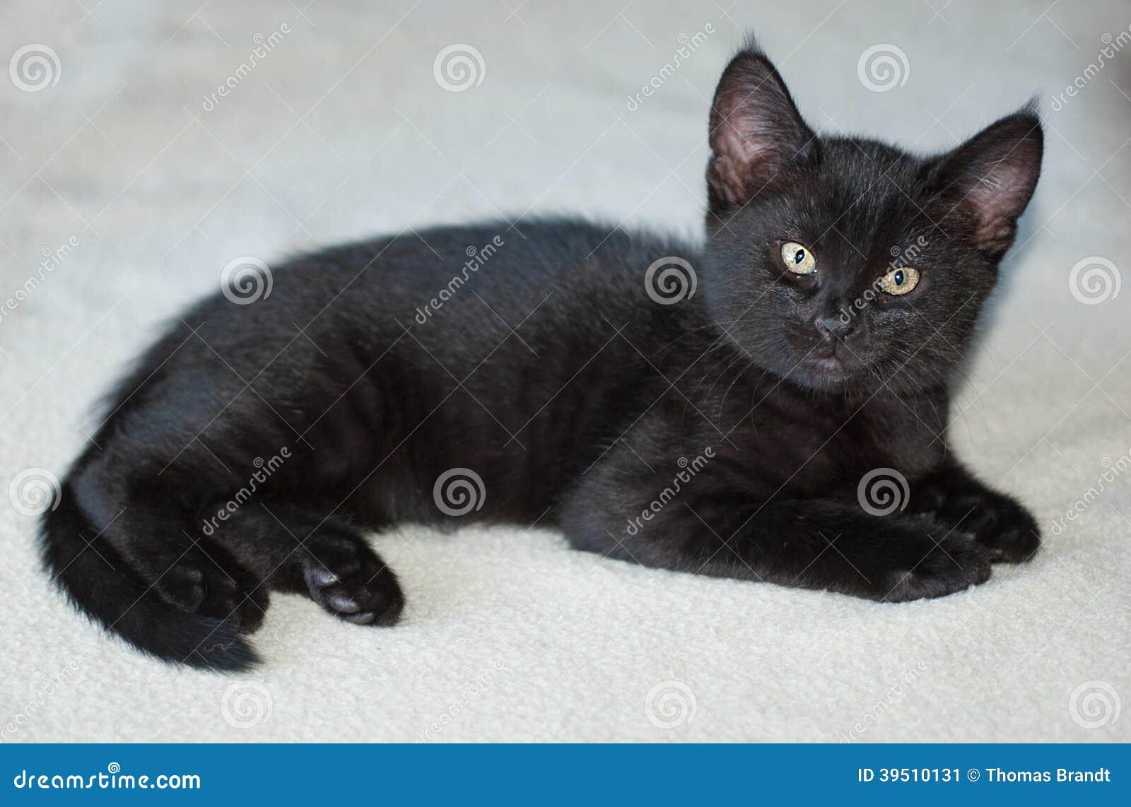 10week old black kitten on blanket stock photo image