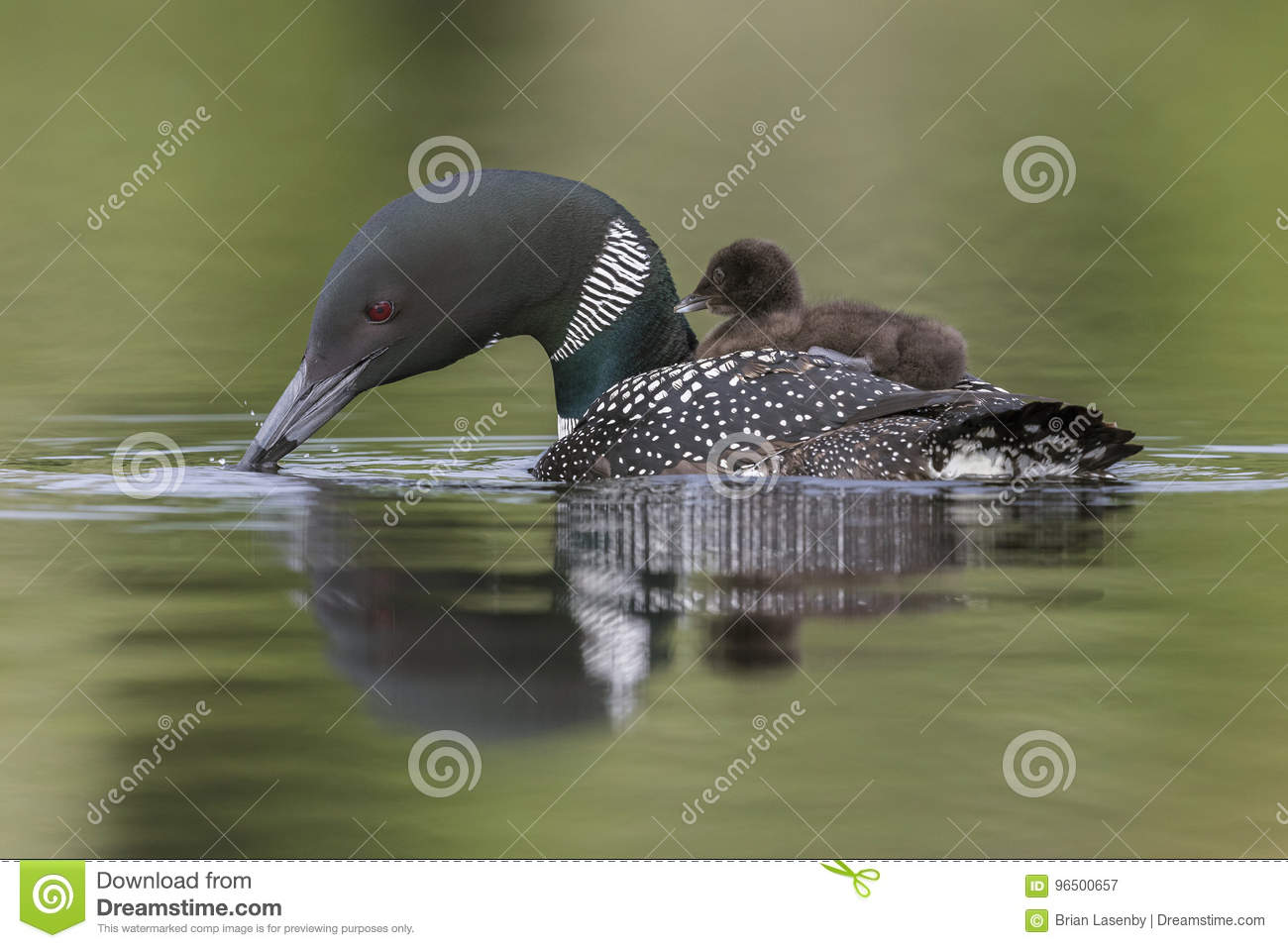 Download A Week Old Common Loon Chick Rides On Its Mothers Back