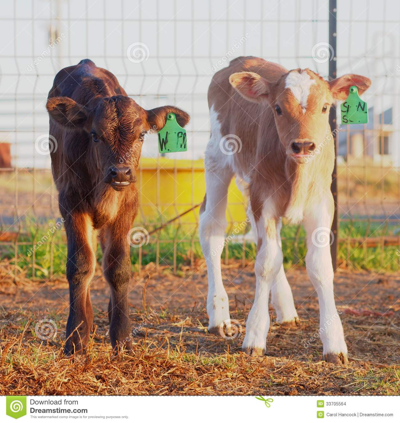 Week Old Dairy Calves Stock Photo Image Of Calf Dairy