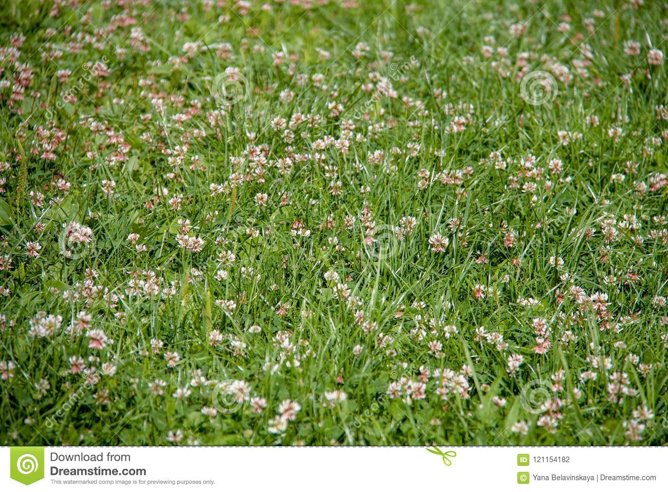 Field Full Of Green Grass With Lots Of Small White Flowers Stock