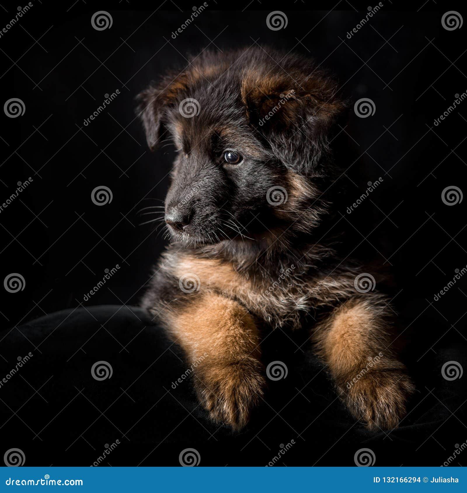 German Shepherd Puppies Studio Portrait On Black Stock Photo Image Of Fluffy Posing 132166294