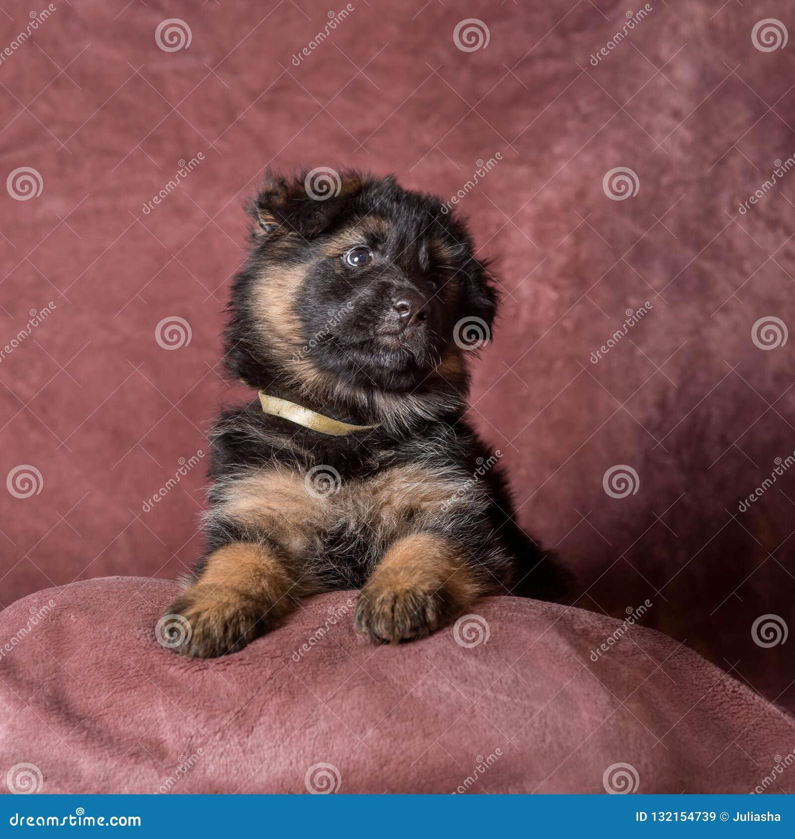 Long Haired German Shepherd Puppy Studio Portrait Stock Image Image Of Mammal Domestic 132154739