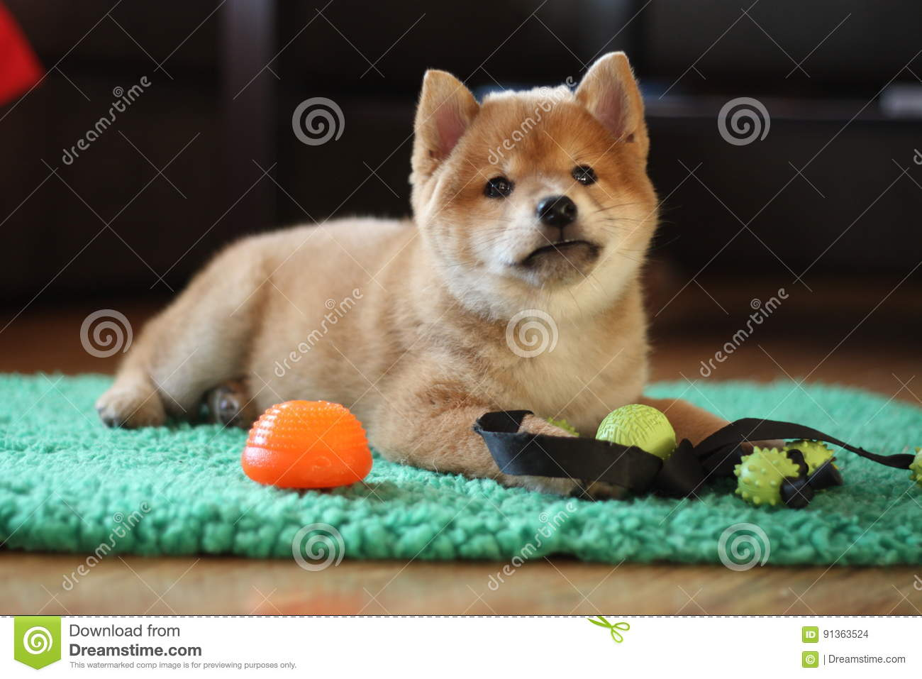 8 Weeks Old Red Shiba Inu Puppy So Cute Stock Photo Image Of Cold Small 91363524