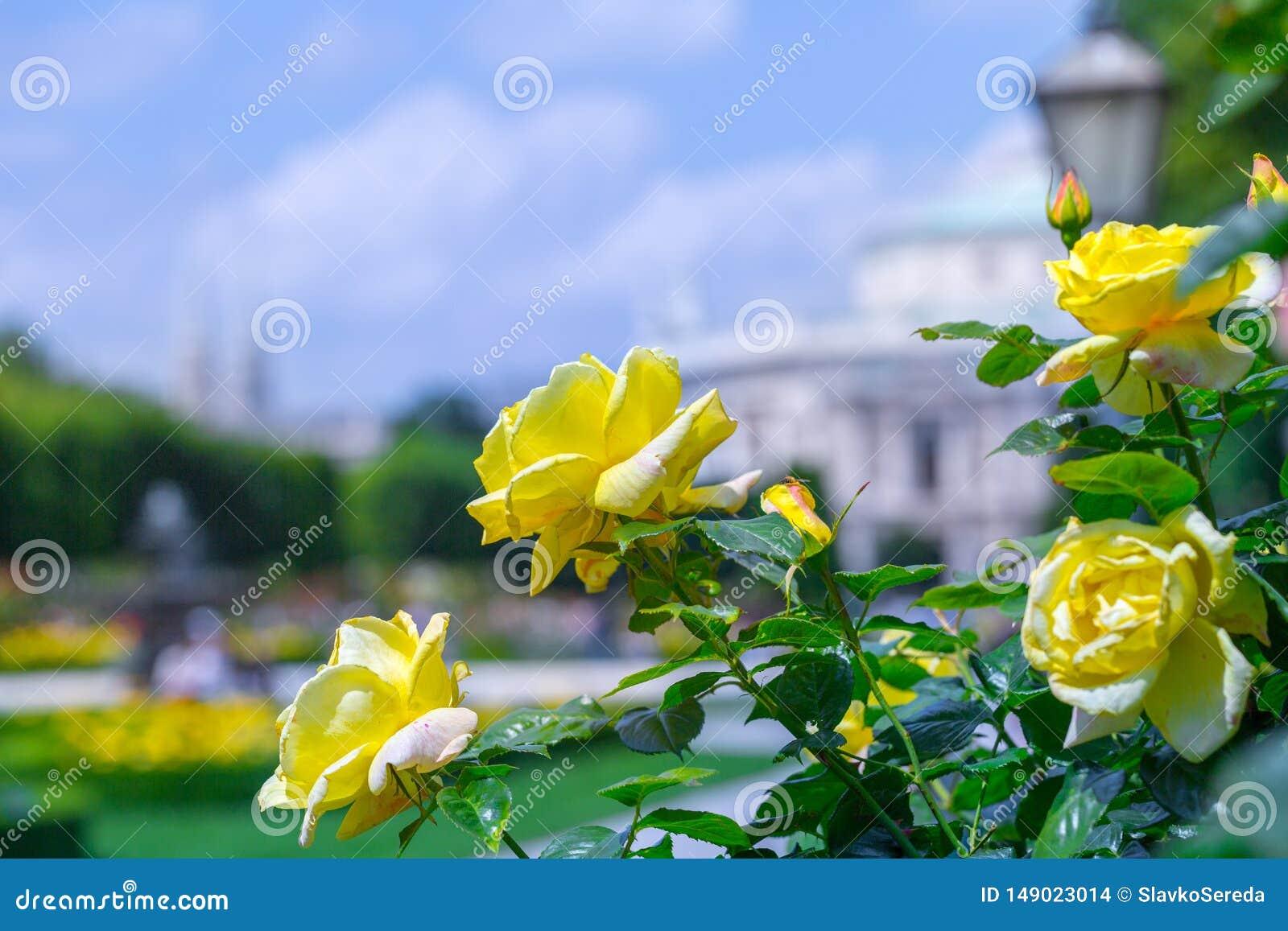 Weelderige bloeiende gele rozen in roze tuin Volksgarten( people' s park) in Wenen, Oostenrijk