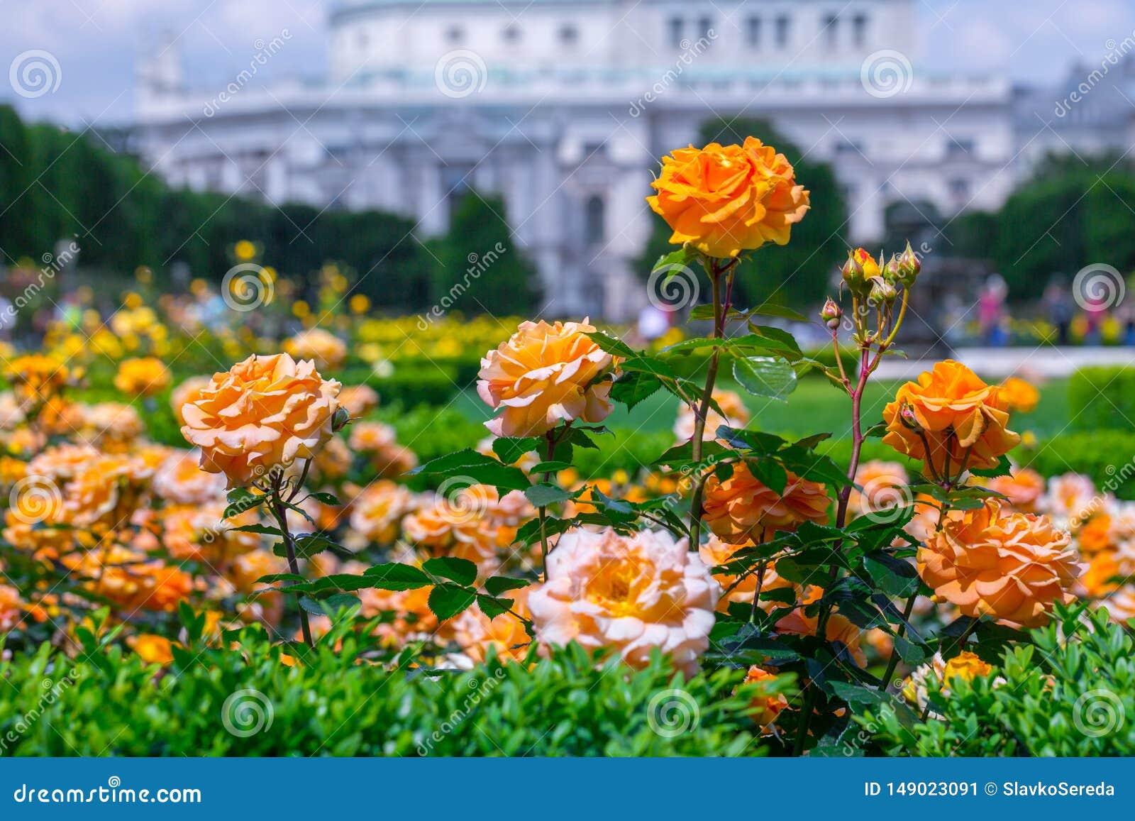 Weelderige bloeiende oranje rozen in roze tuin Volksgarten( people' s park) in Wenen, Oostenrijk