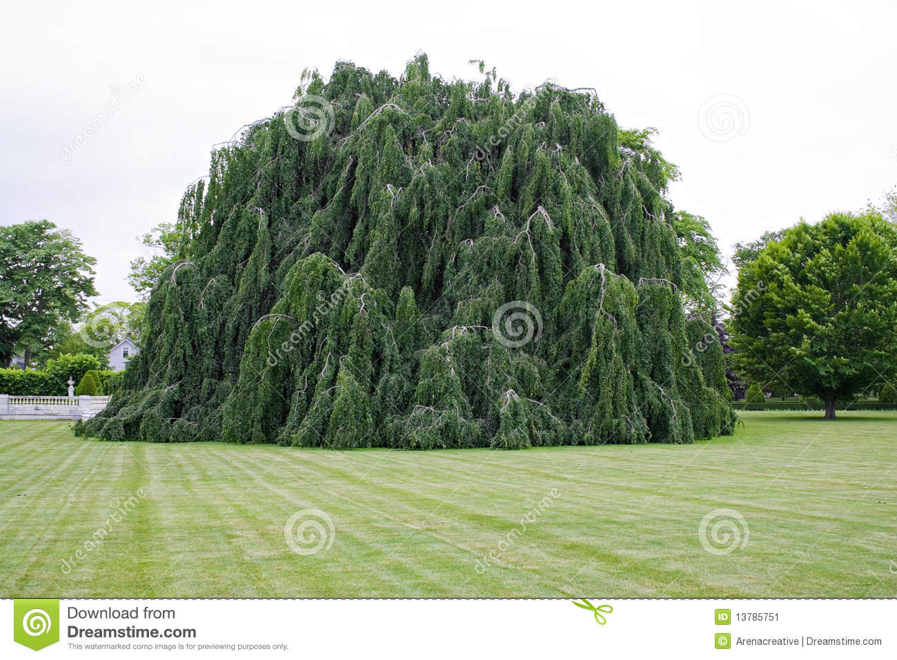 Weeping Beech Tree stock image. Image of color, flora - 31170839