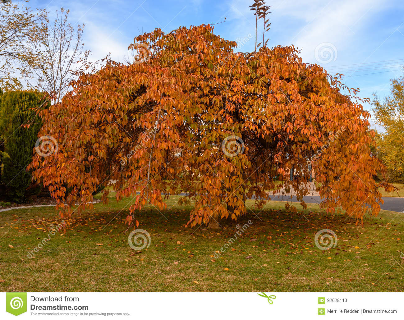Weeping Cherry Tree in Autumn